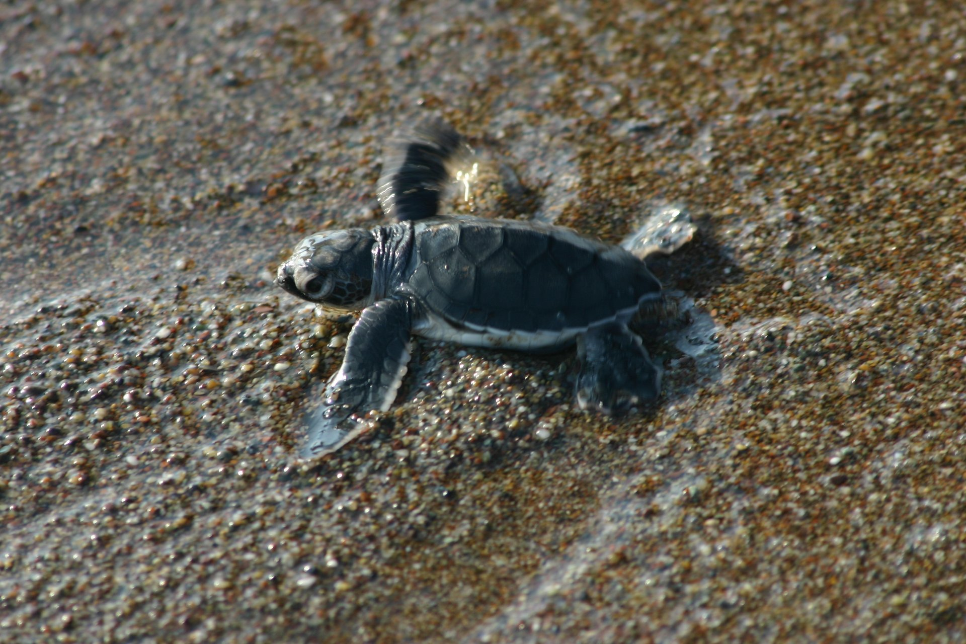 Baby turtle reached the sea! Pafos, Cyprus 2020