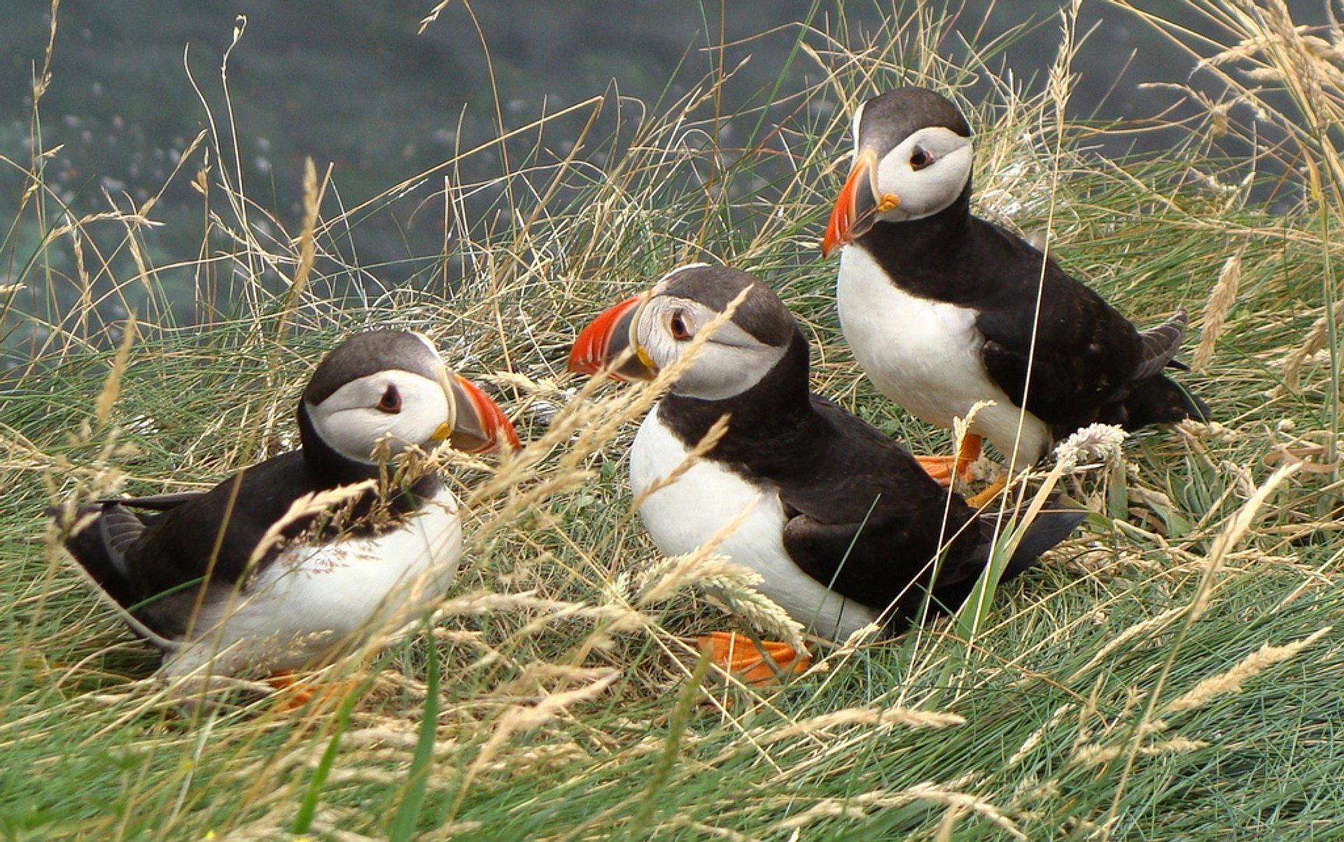 Puffins on Staffa Island 2020