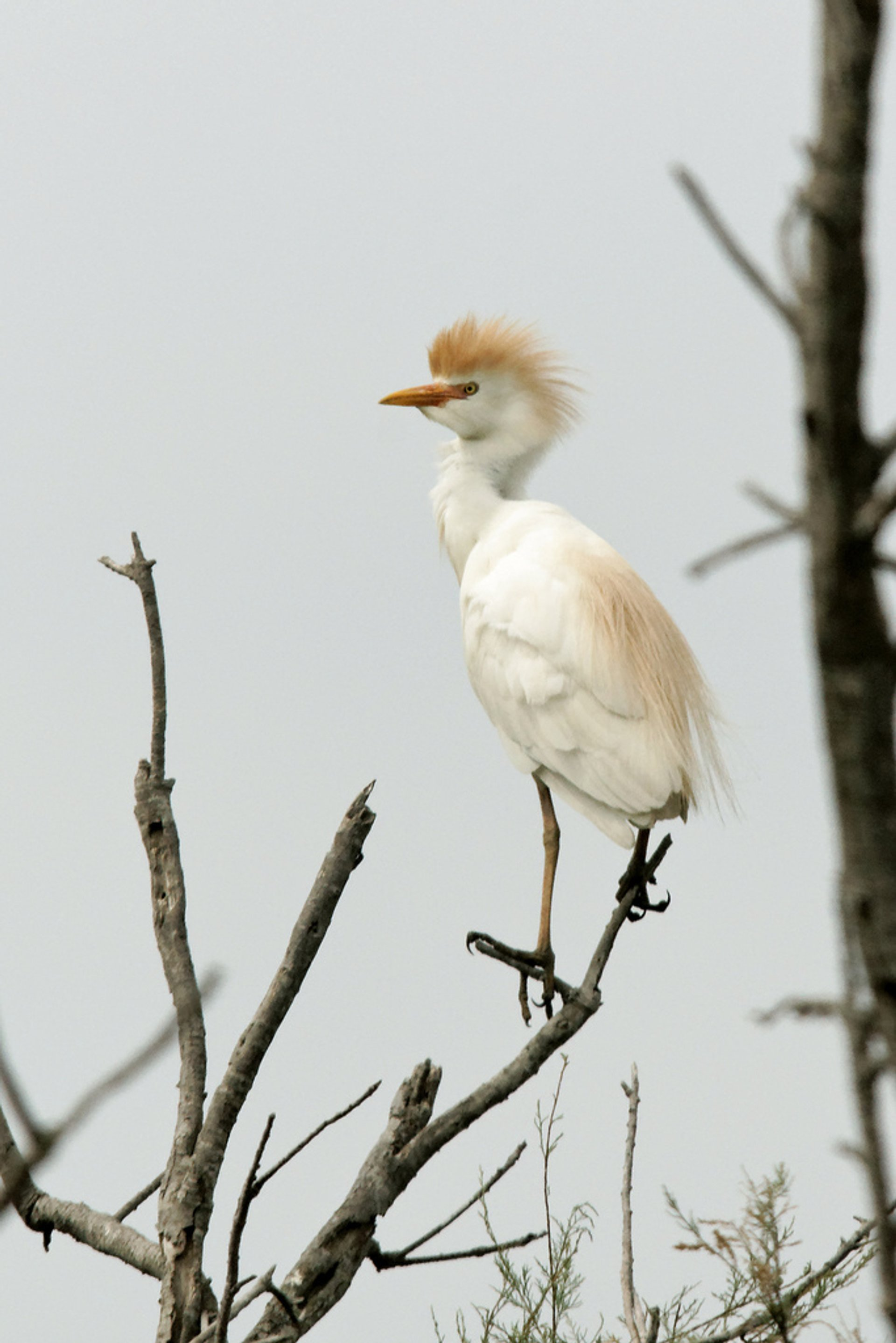 Cattle egret 2019