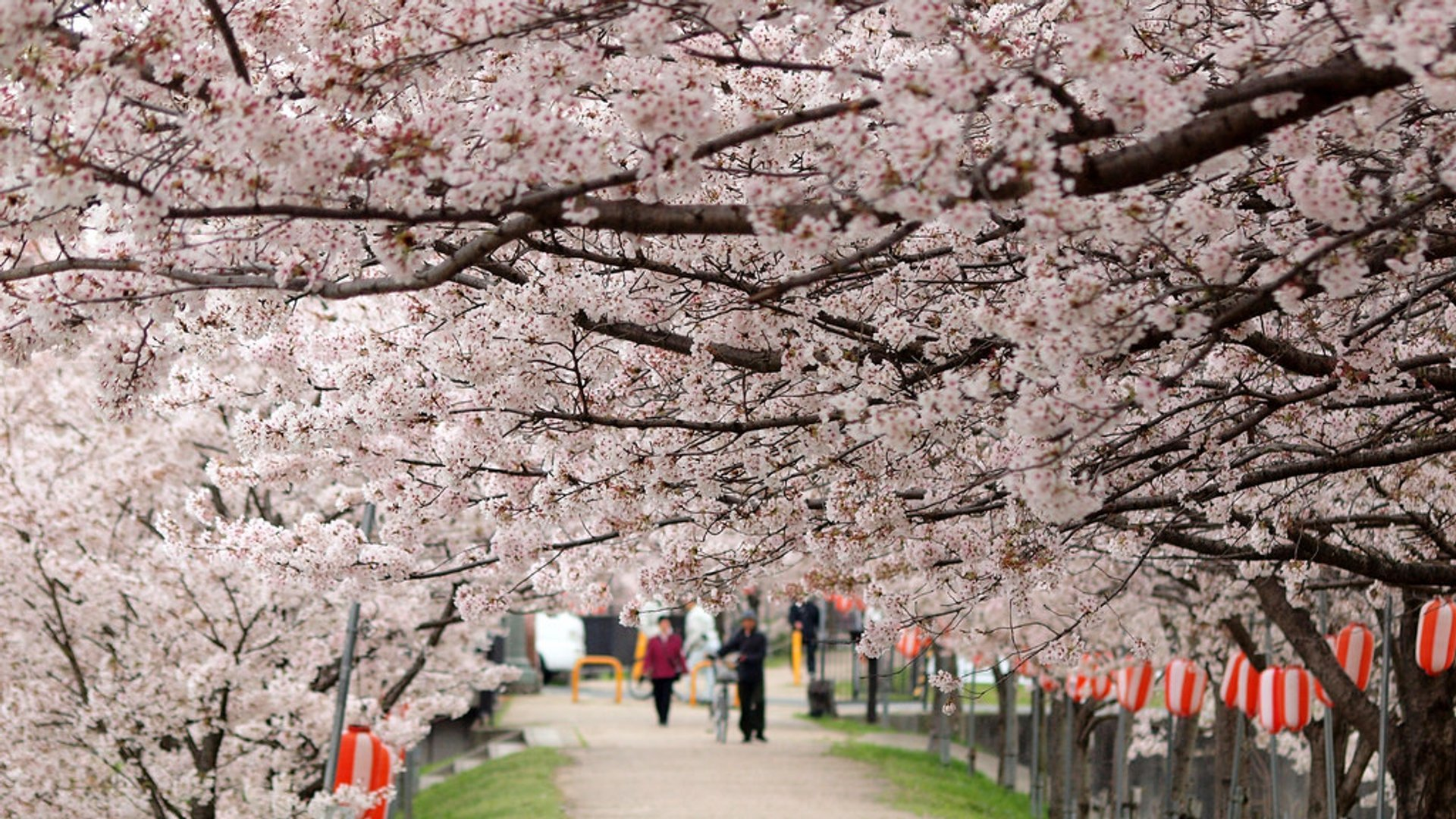 Cherry Blossoms in Japan - Best Season 2019