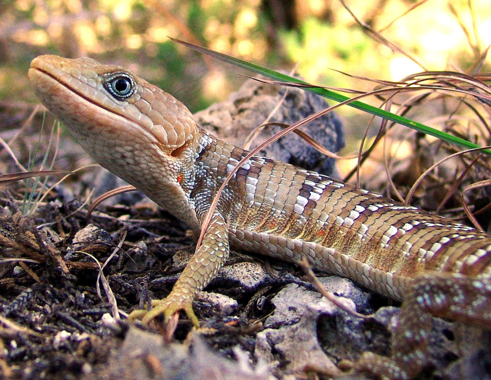 Texas Alligator Lizard 2020