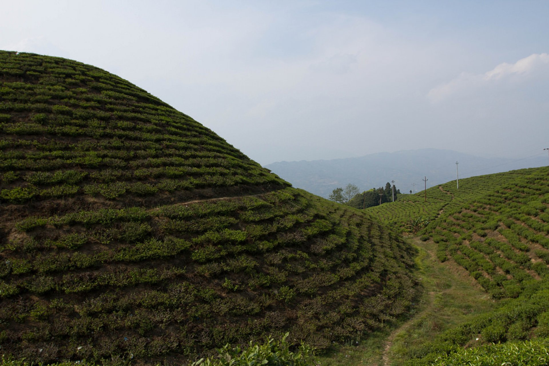 Best time for Nepal Tea Harvest Season in Nepal