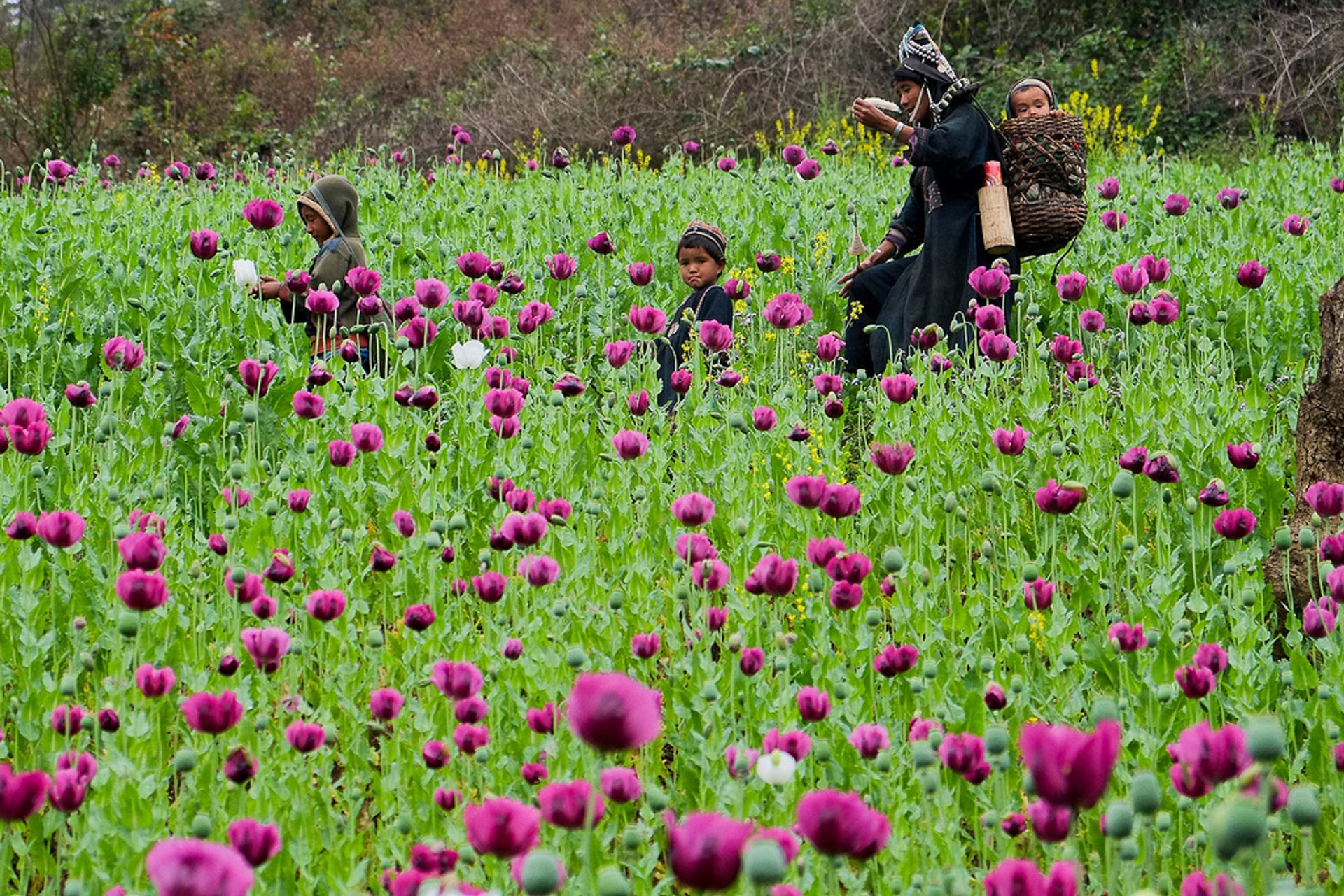 Opium Flowers in Laos 2020 - Best Time