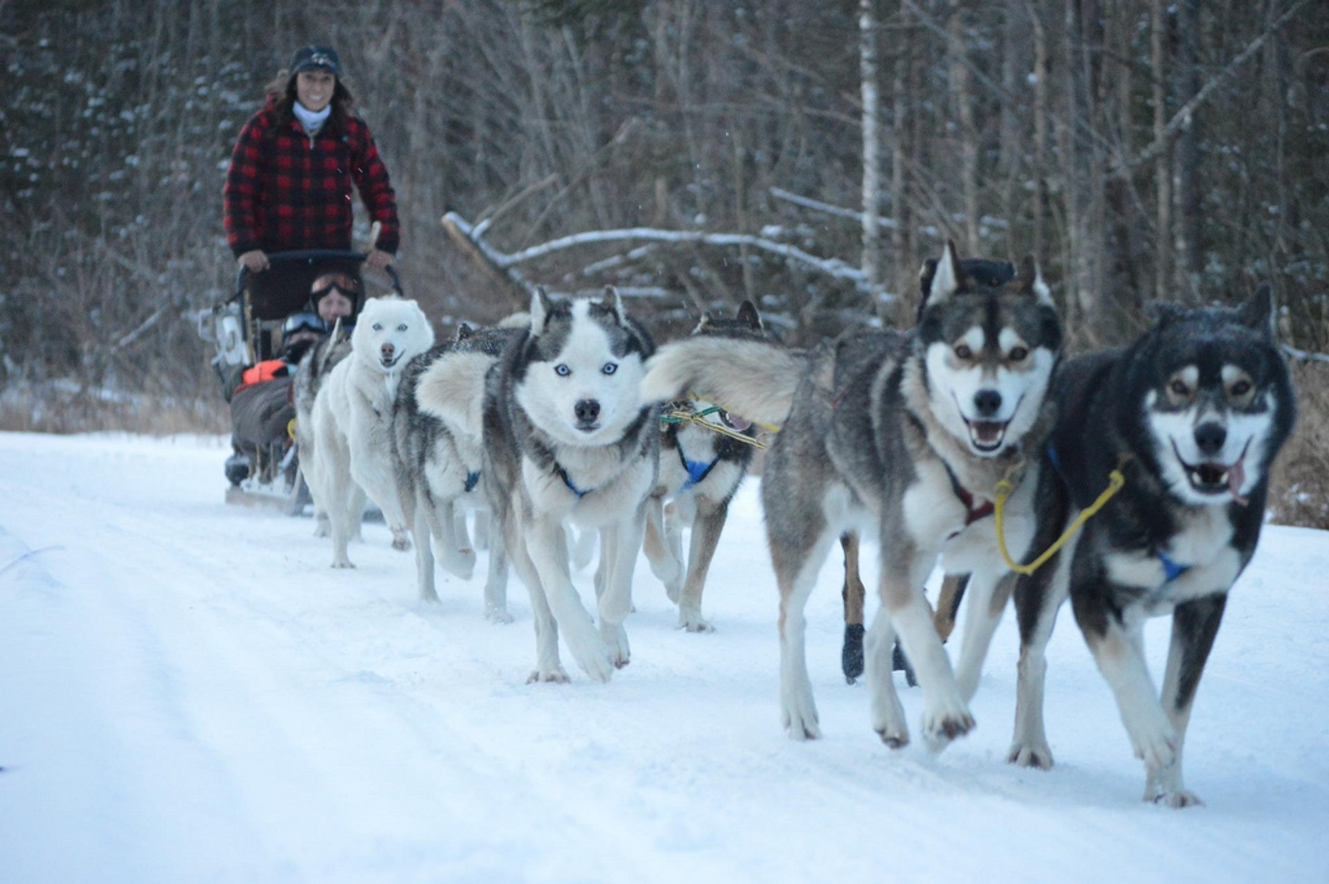 Sled Dog Experience in New Zealand 2020 - Best Time