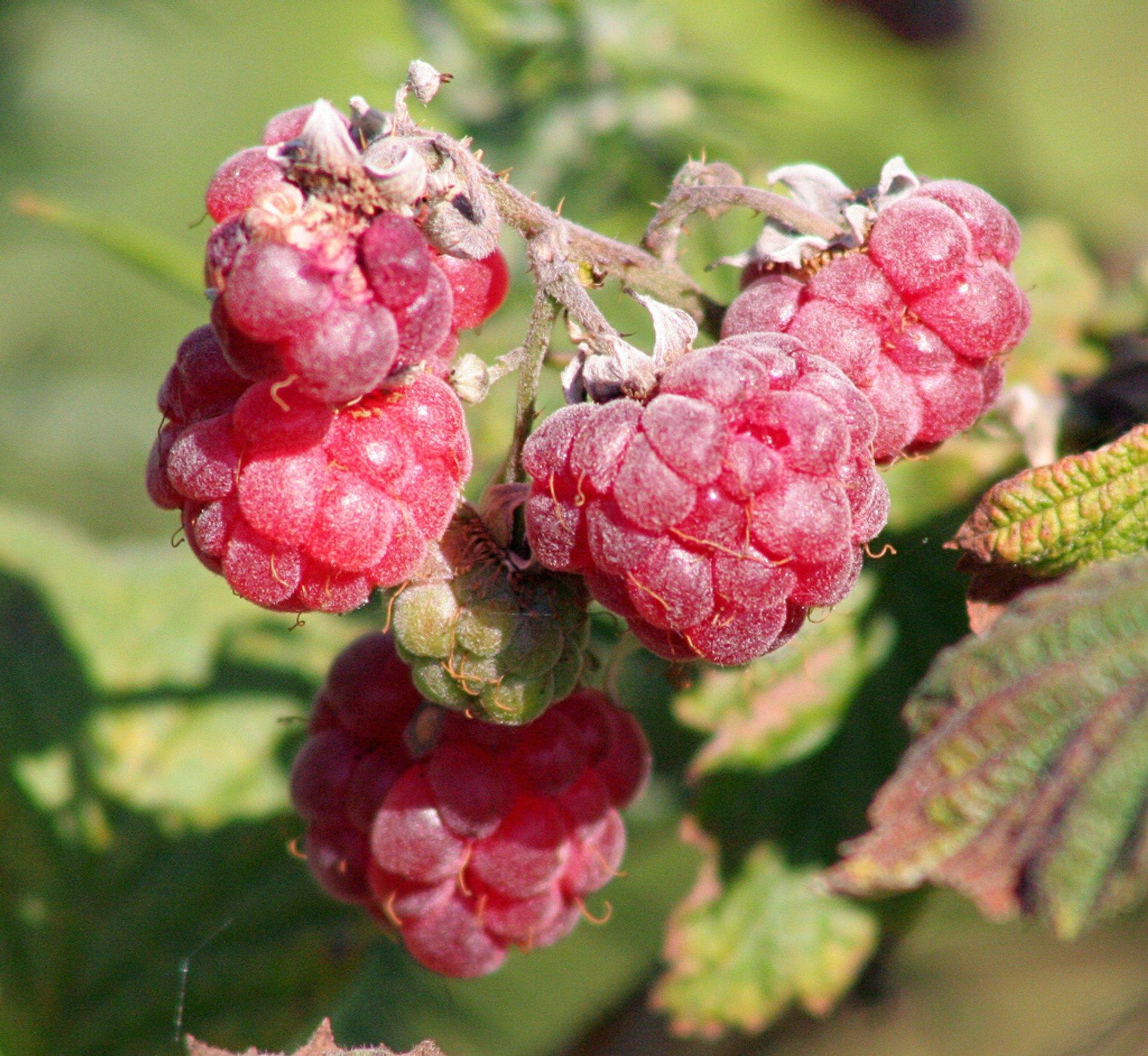Raspberries 2020