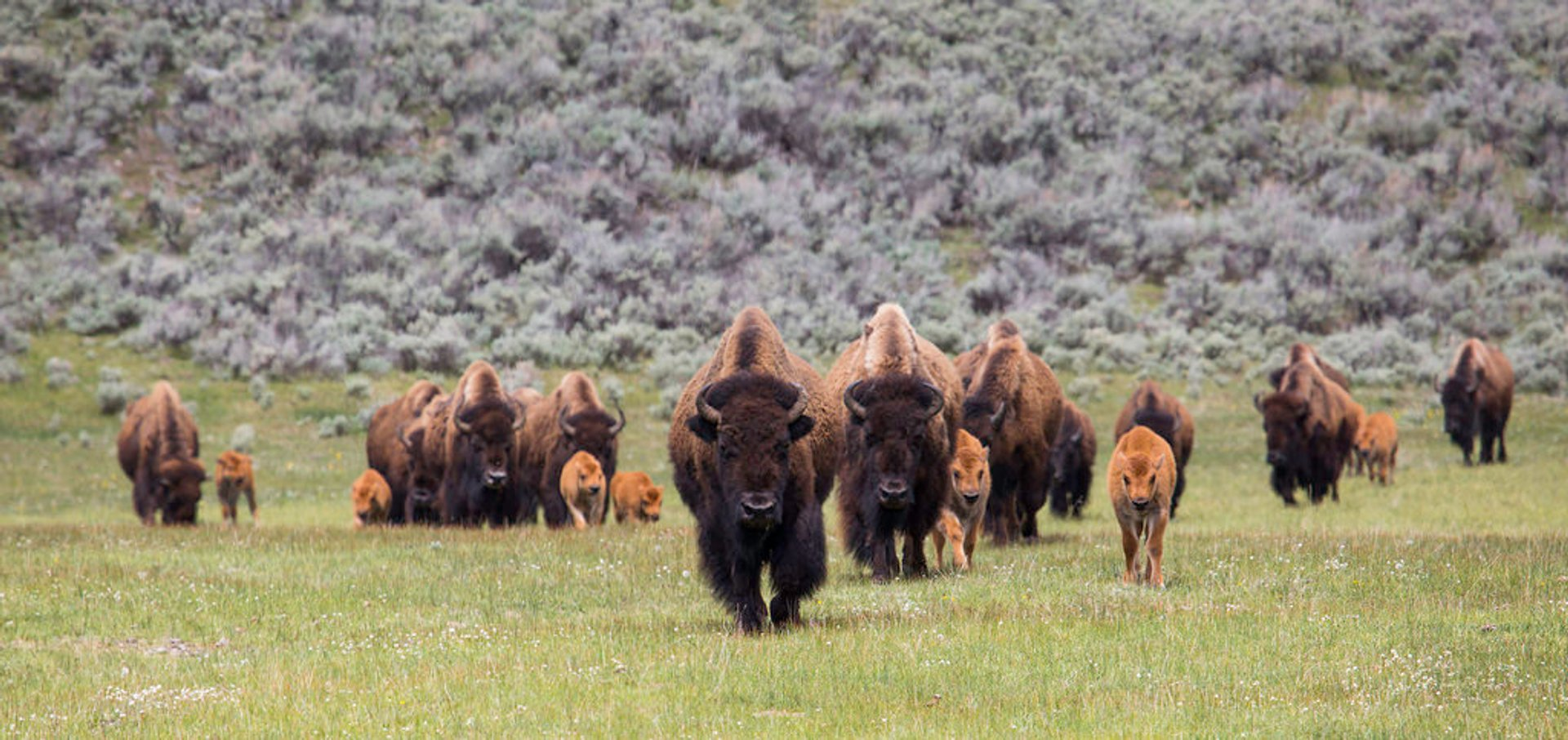 Best time for Bison Mating Season in Yellowstone National Park 2020