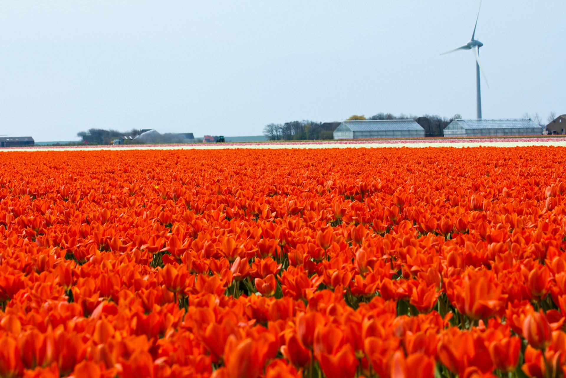 Red tulips field, Den Helder, The Netherlands 2020