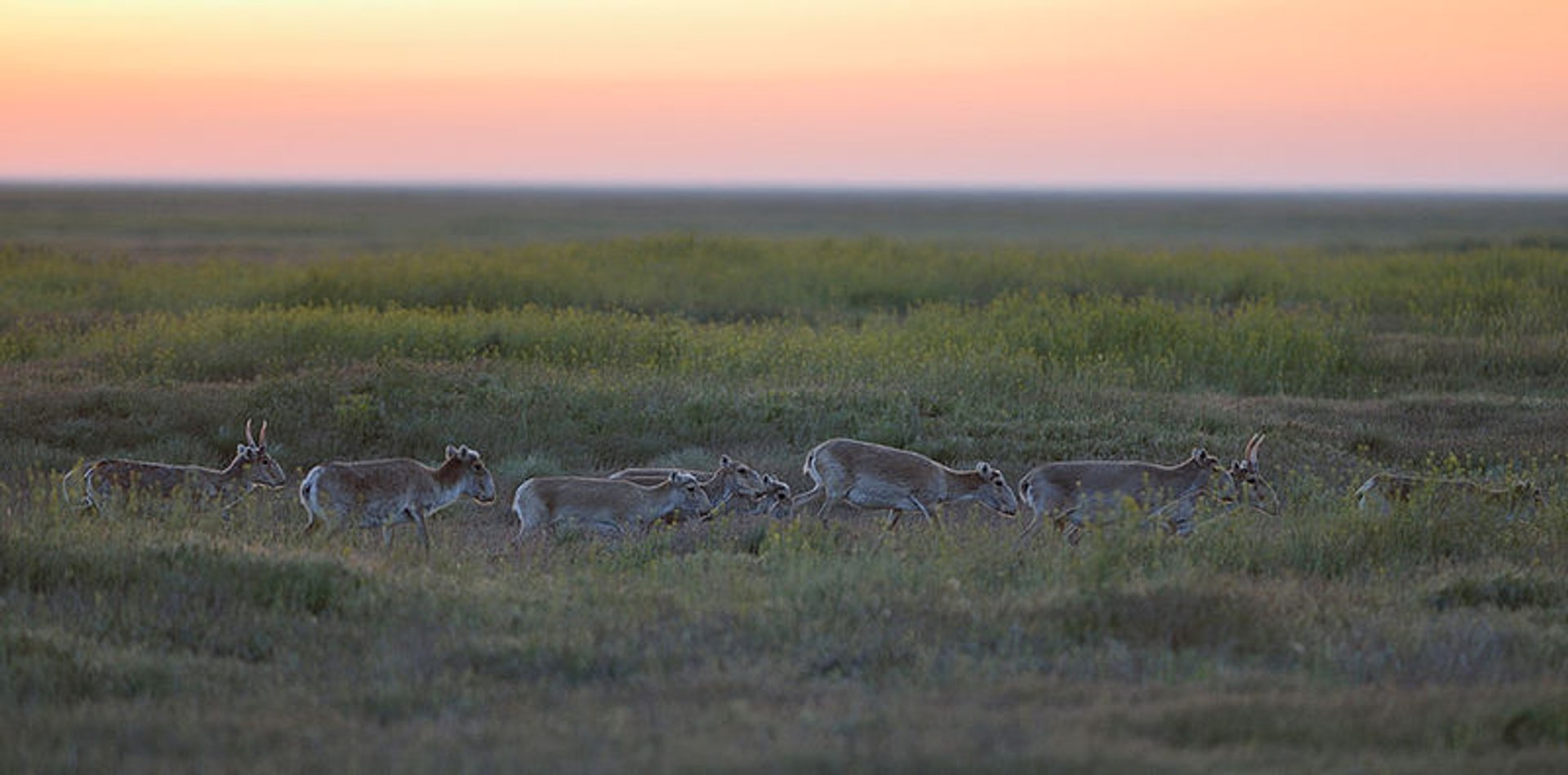 Saiga Antelopes in Kazakhstan - Best Season 2019