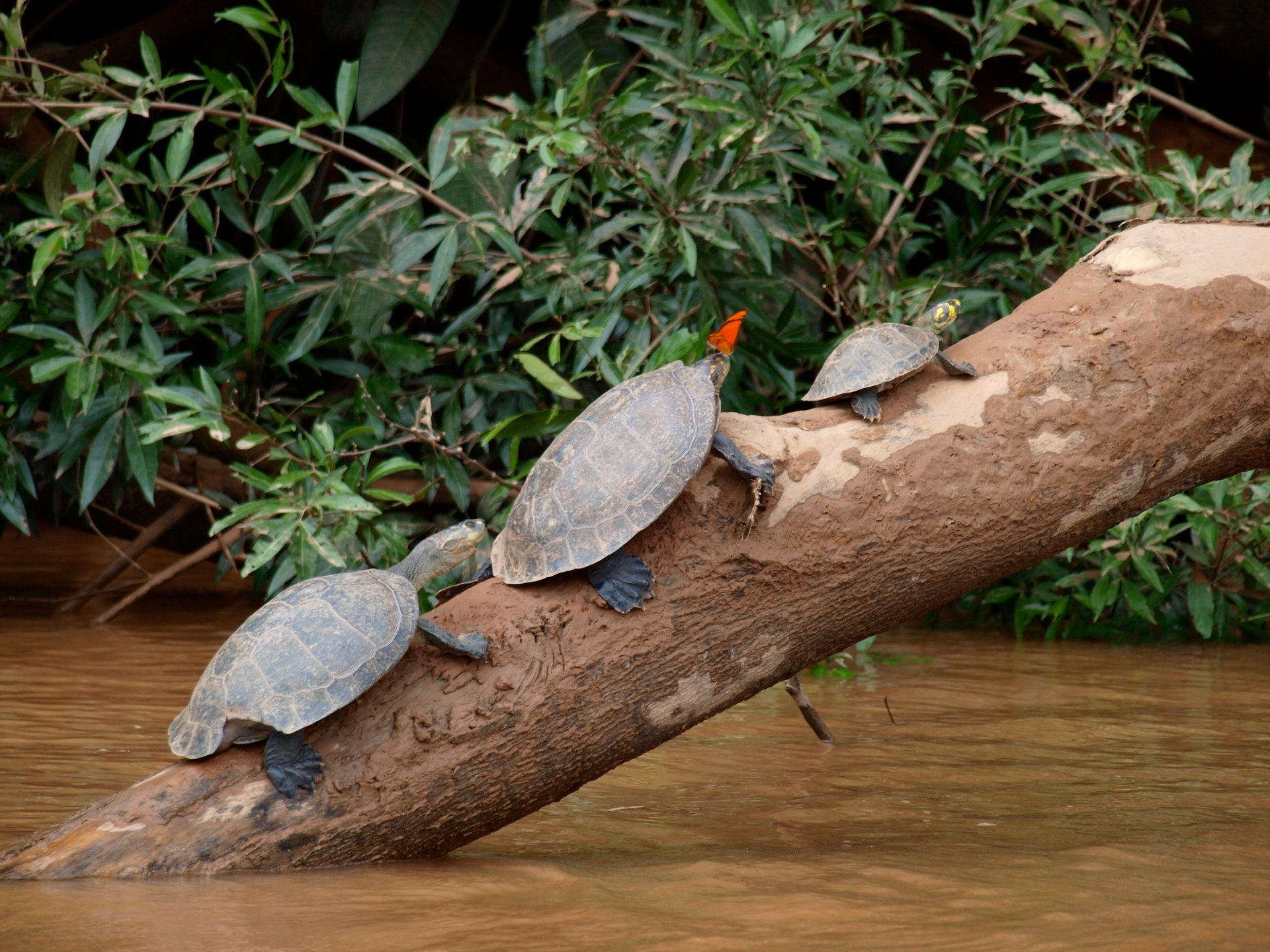 Butterflies Drinking Turtle Tears in Peru - Best Season 2020