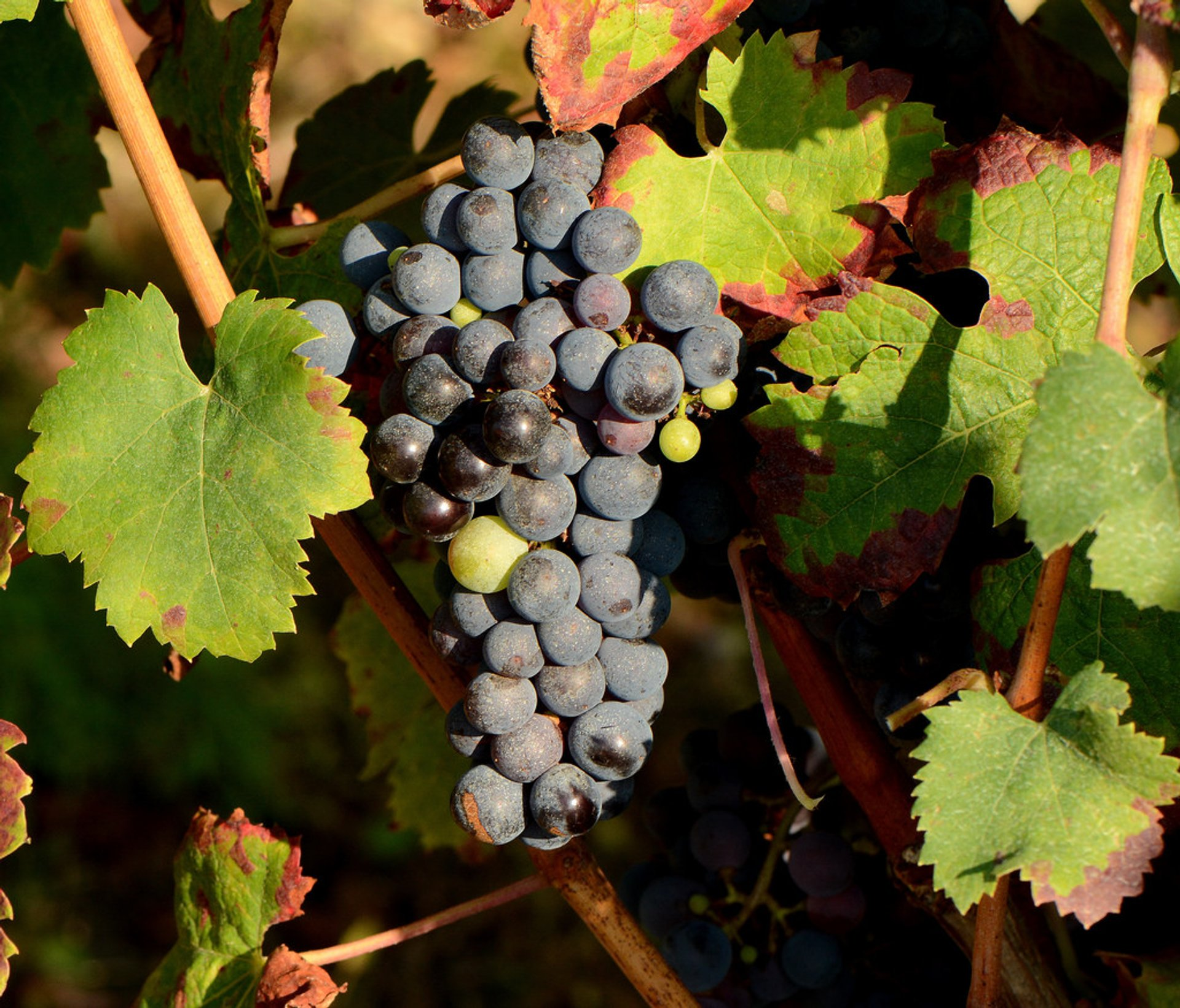 Grape Harvest & Festivals in France 2020 - Best Time