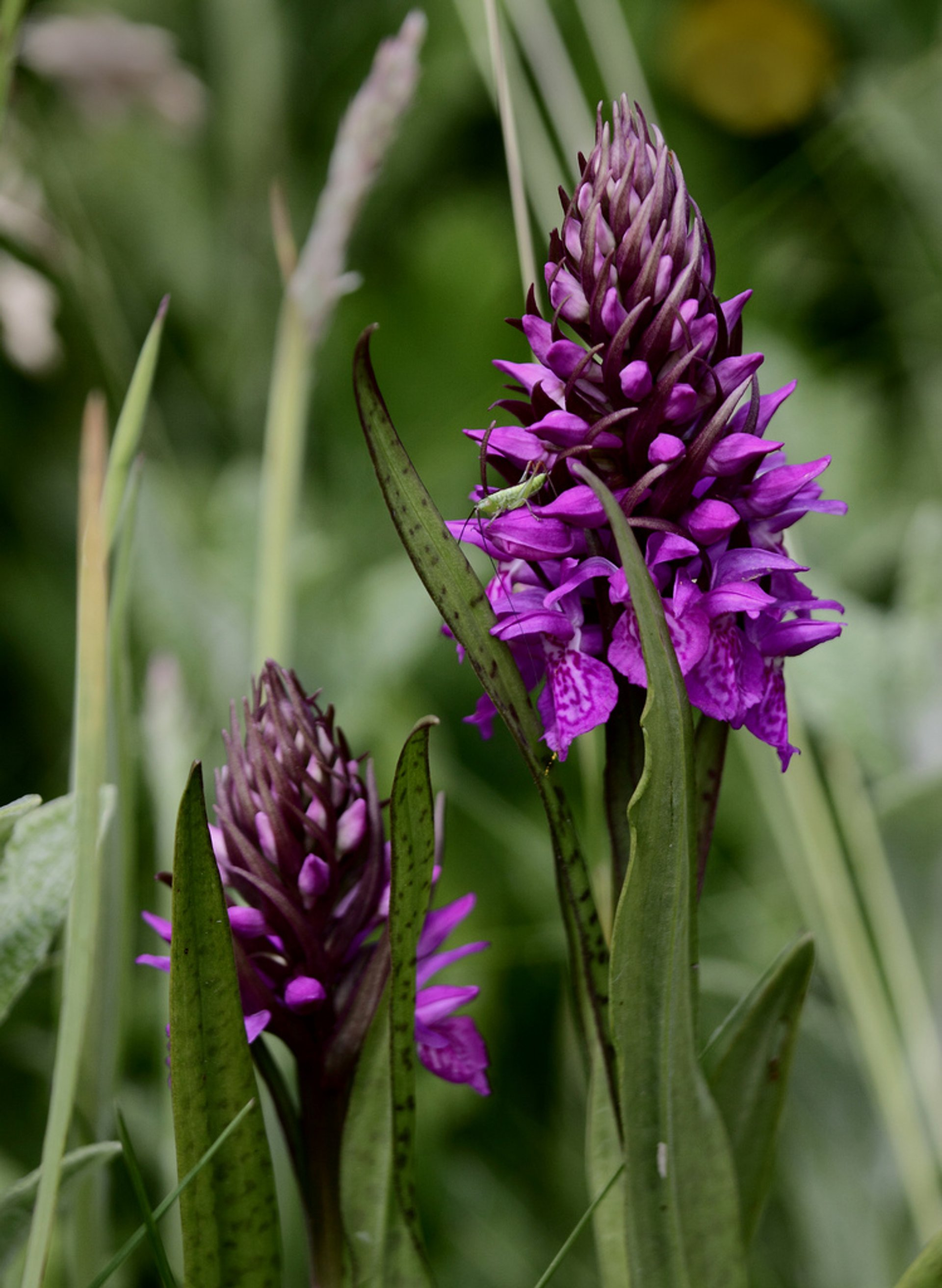 Best time for Orchids at  Lauwersmeer in The Netherlands