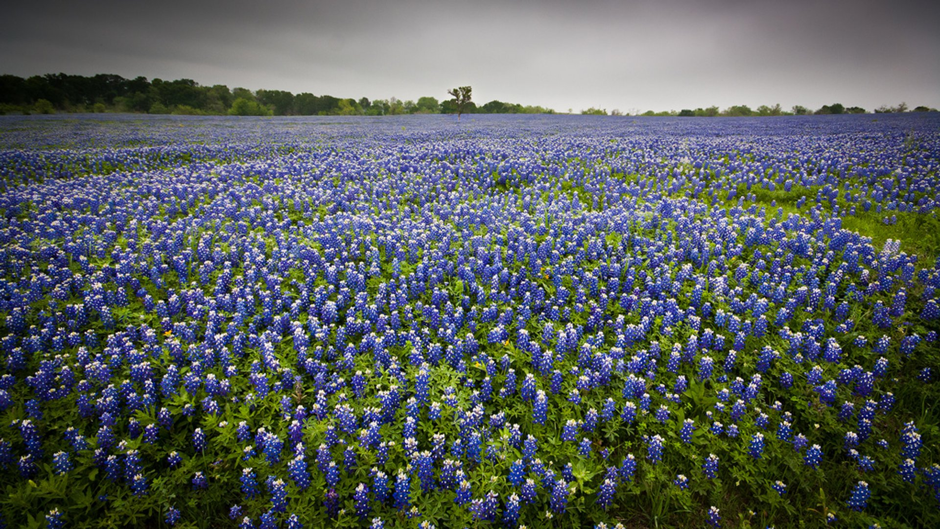 Best Time To See Bluebonnets Bloom In Texas 2020 When