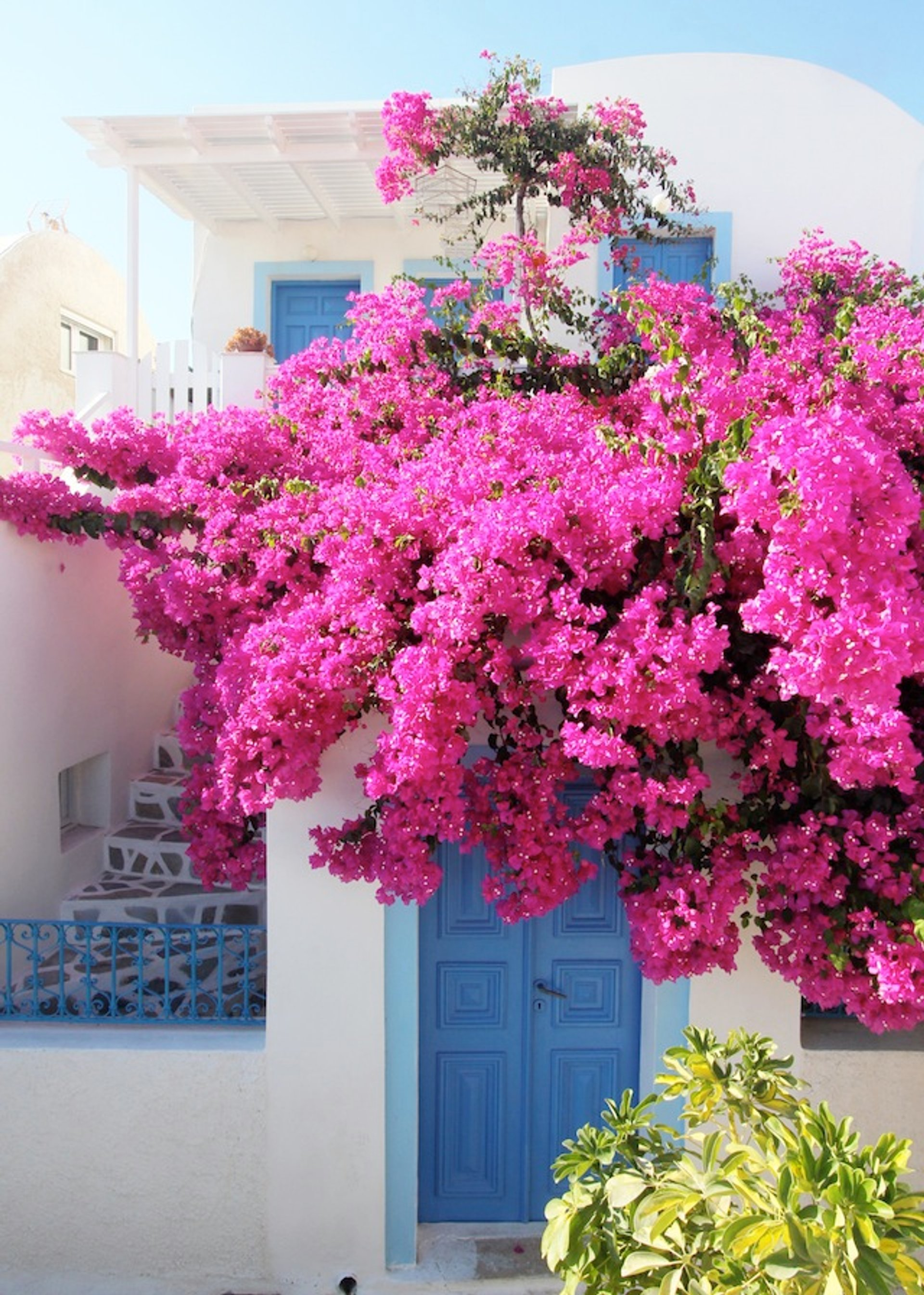 Best time for Fuchsia Bougainvillea Bloom in Santorini 2019