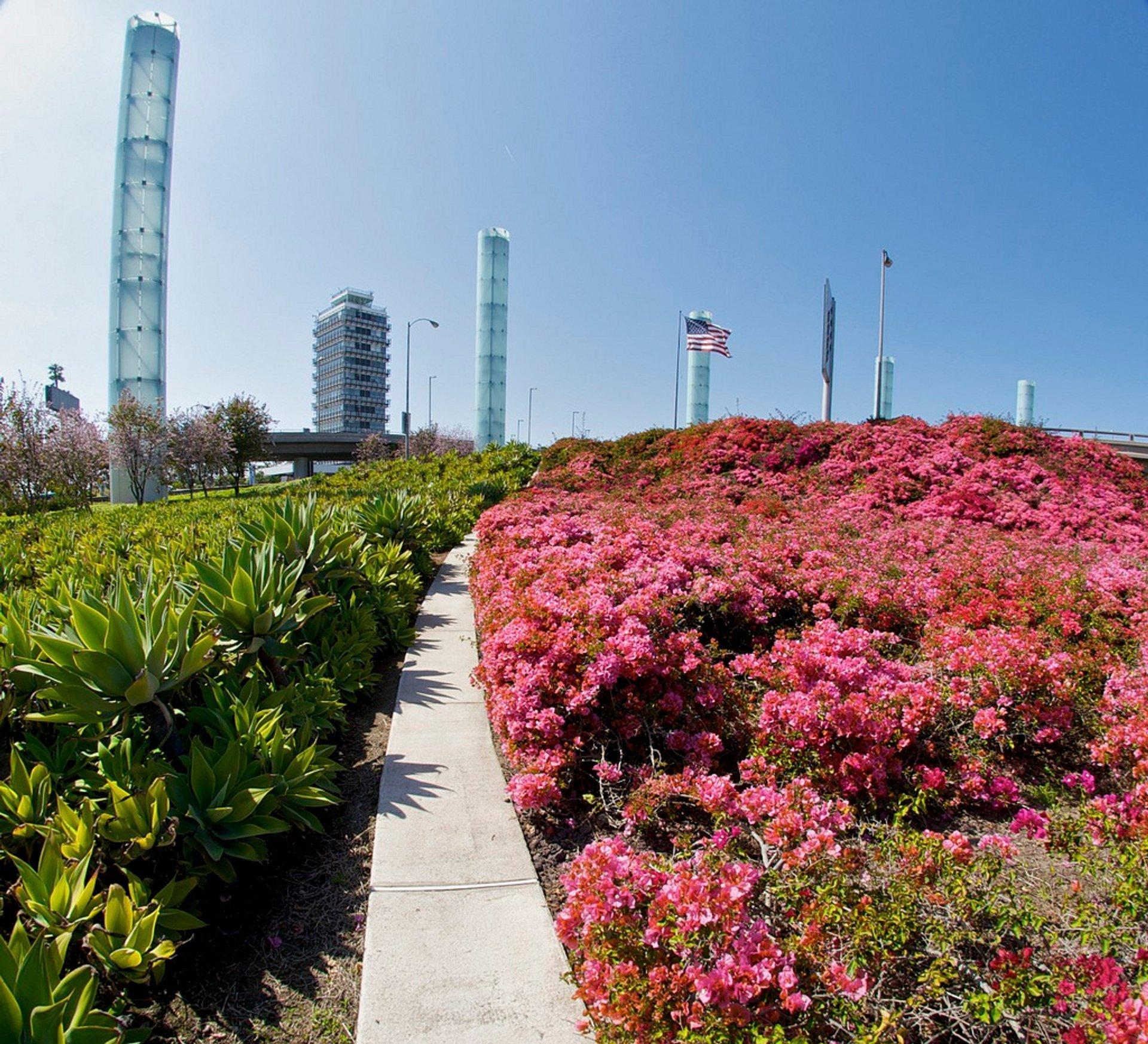 Bougainvillea Bloom in Los Angeles - Best Season 2020