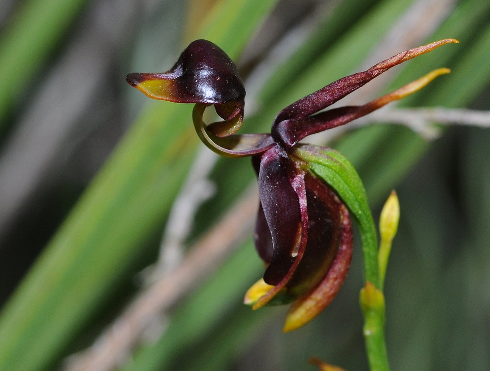 Flying Duck Orchid  in Victoria 2019 - Best Time