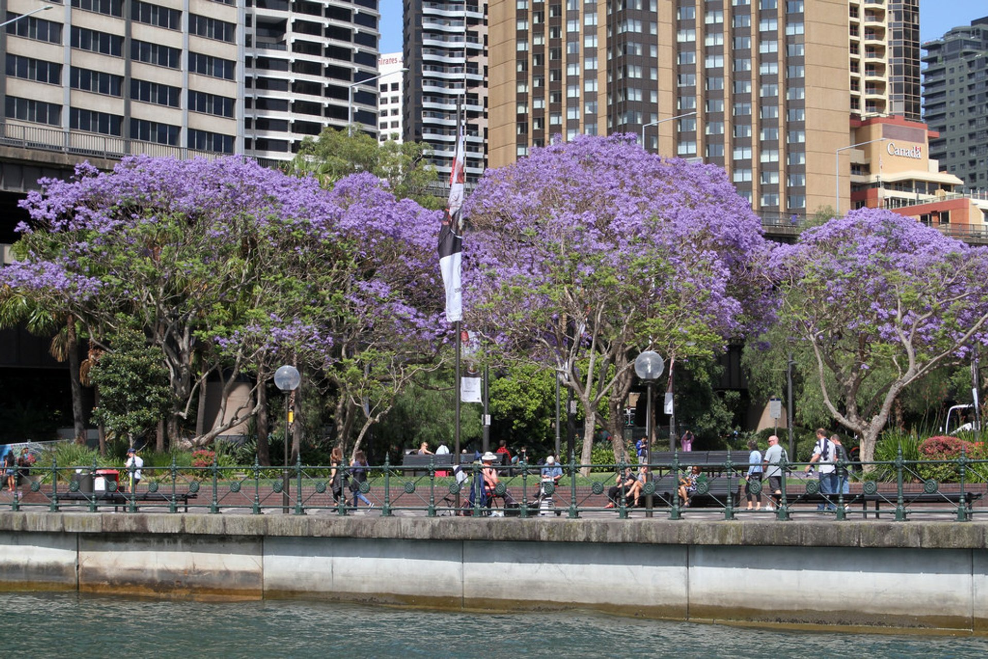 Jacaranda Trees in Bloom in Sydney - Best Season 2019