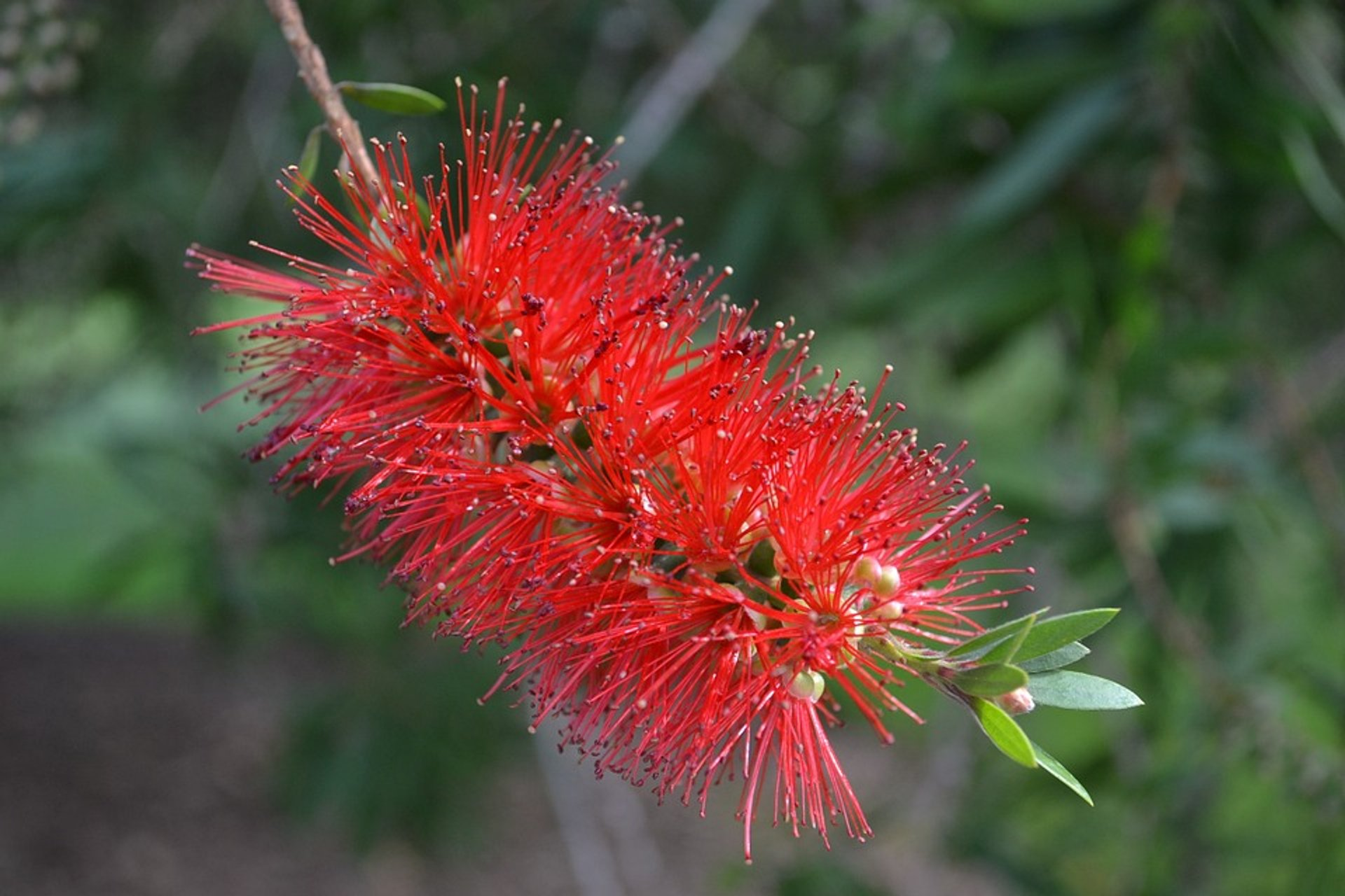 Bottle brush blossom 2020