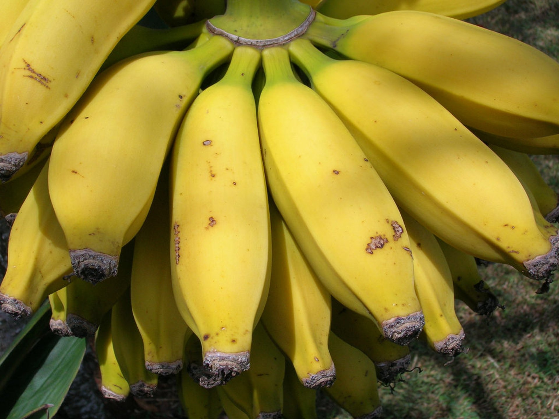 Apple Bananas in Hawaii - Best Season 2019