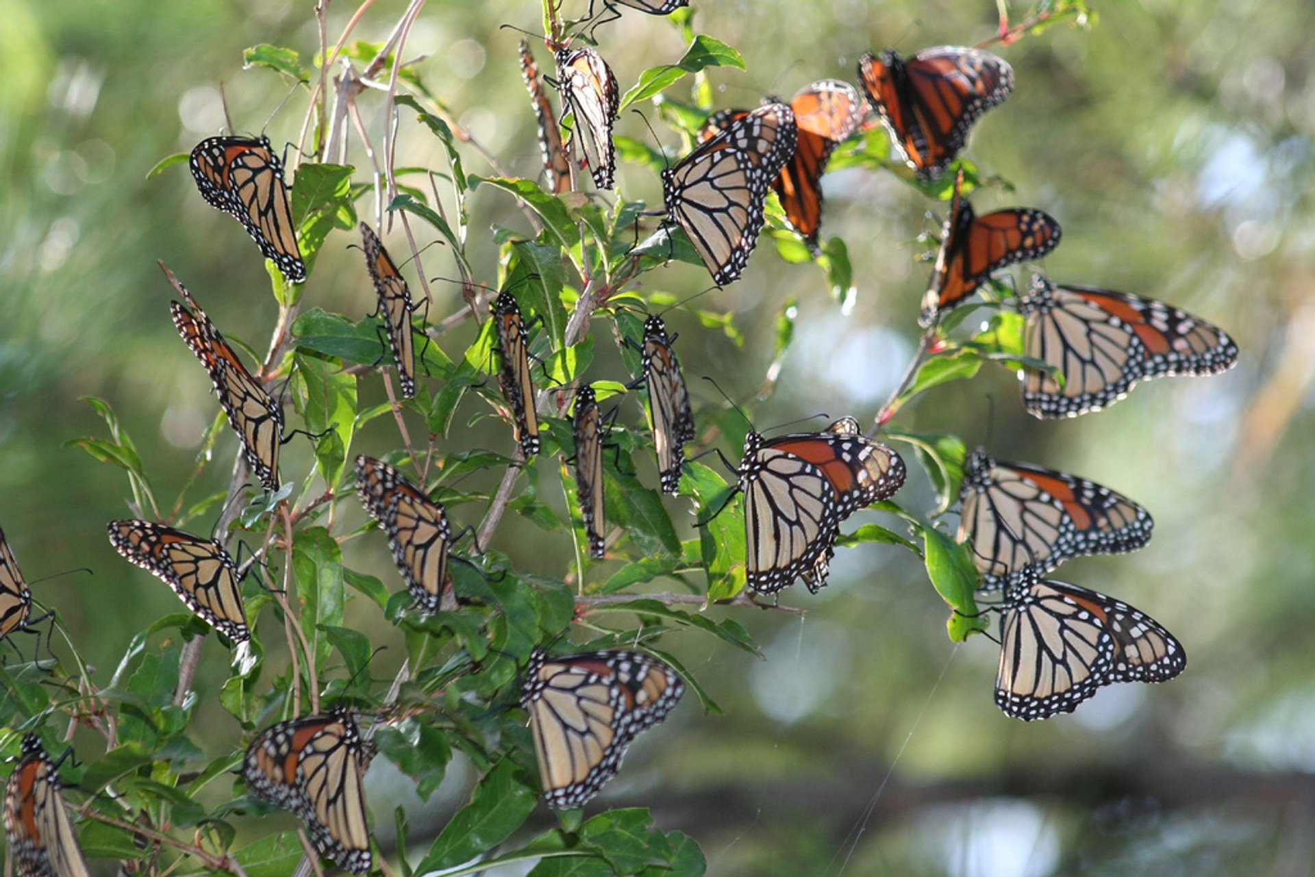 Monarch Butterfly Migration in Mexico - Best Season
