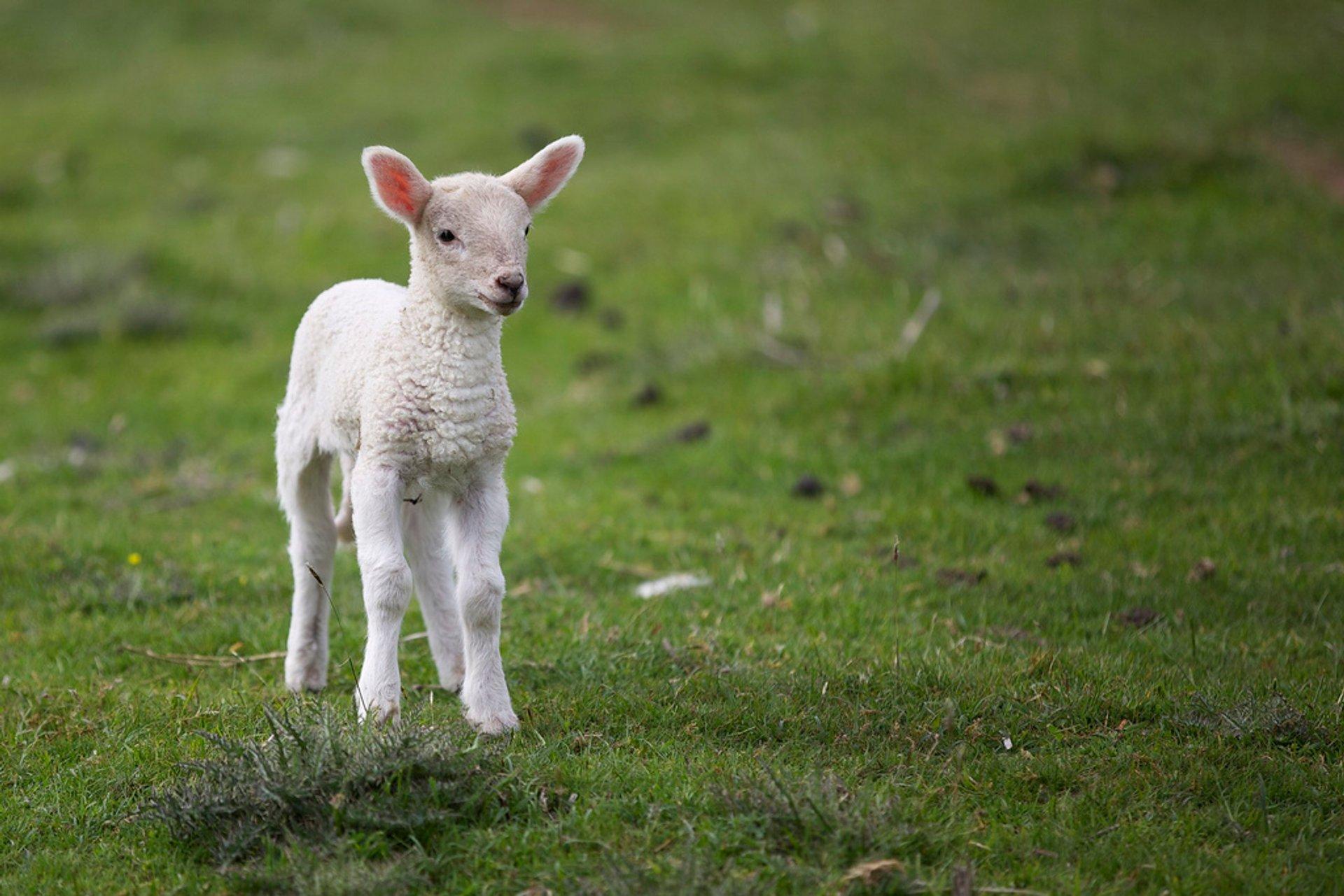 Curragh Lamb 2020