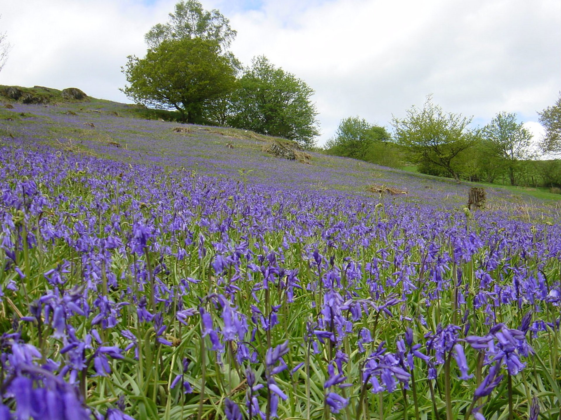 Bluebells in Bloom in Wales 2020 - Best Time