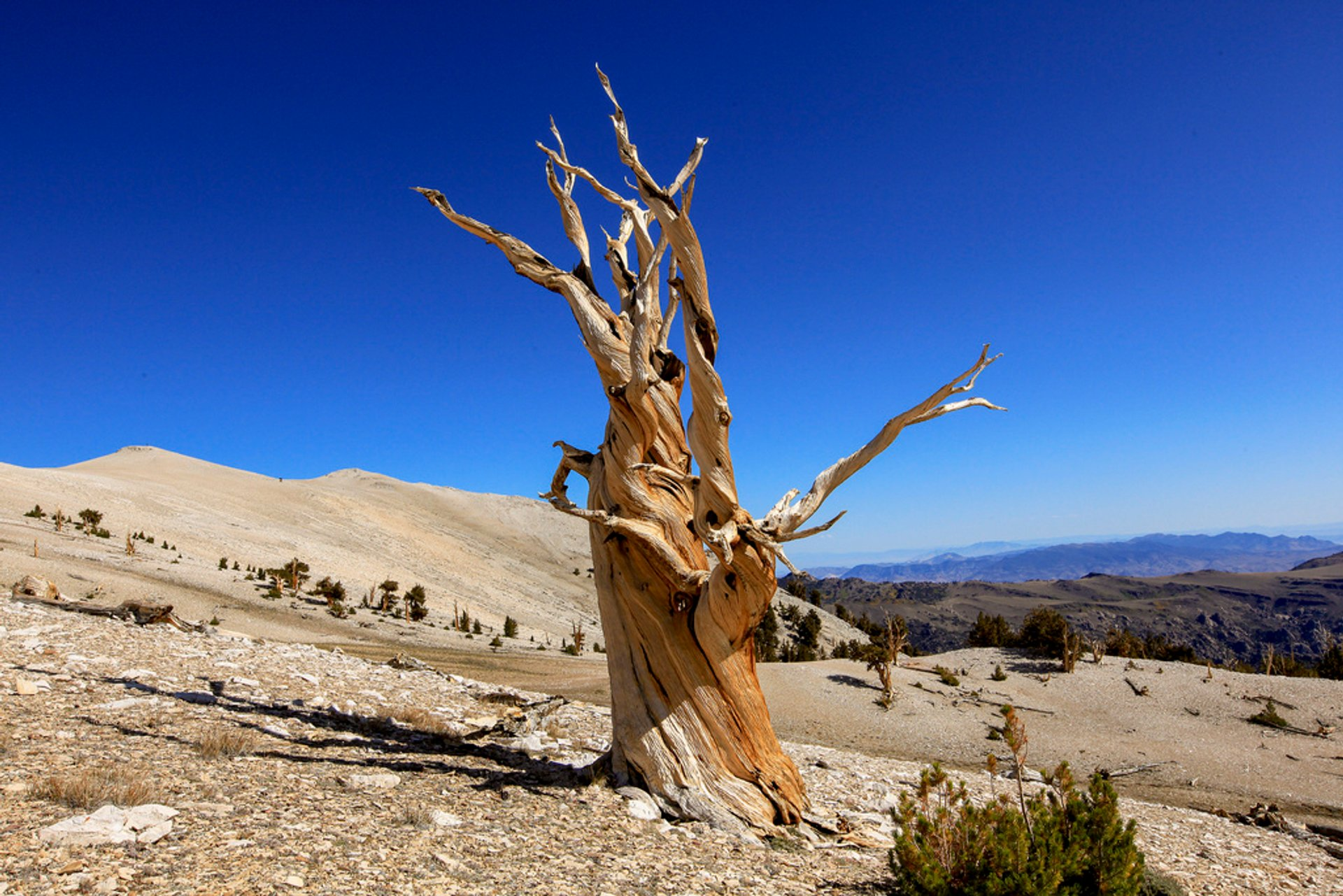 Bristlecone Pines in California 2019 - Best Time