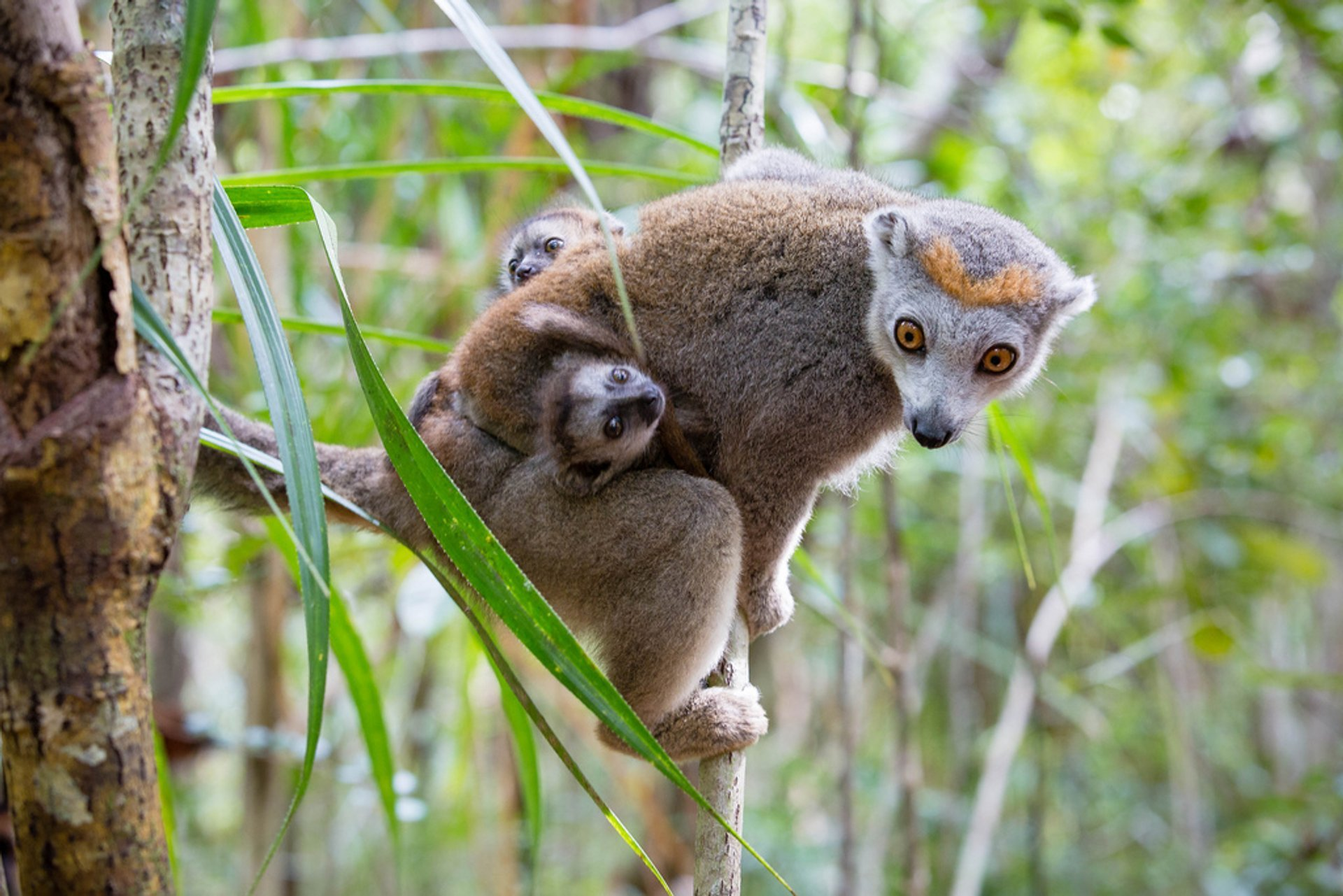 Baby Lemurs in Madagascar - Best Season 2019