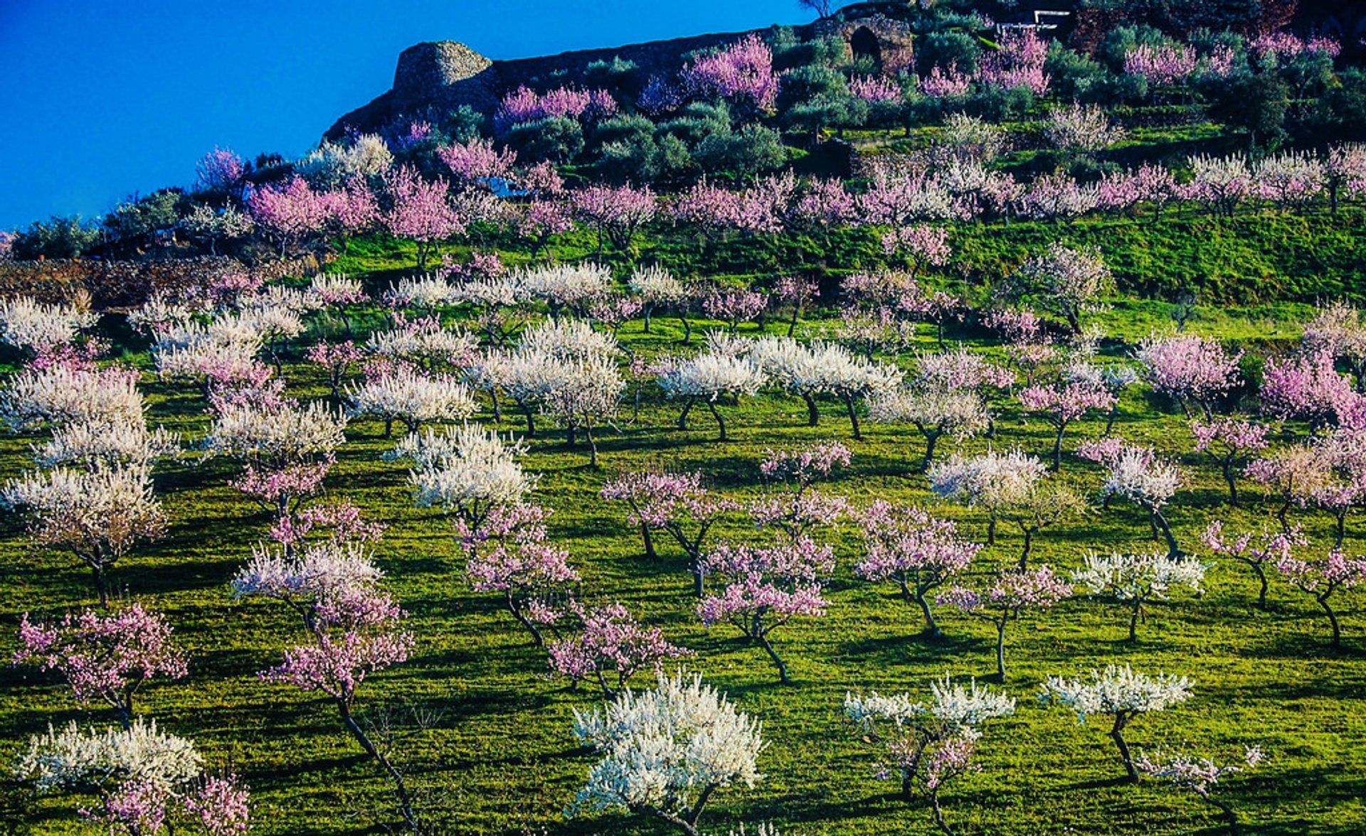 Best time for Almond Tree Blossom in Portugal 2020
