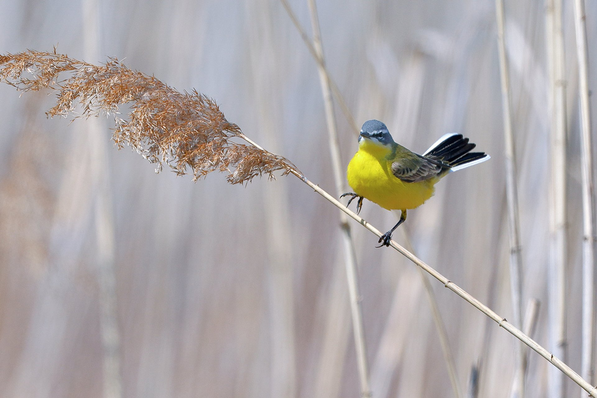 Blue-headed wagtail 2020
