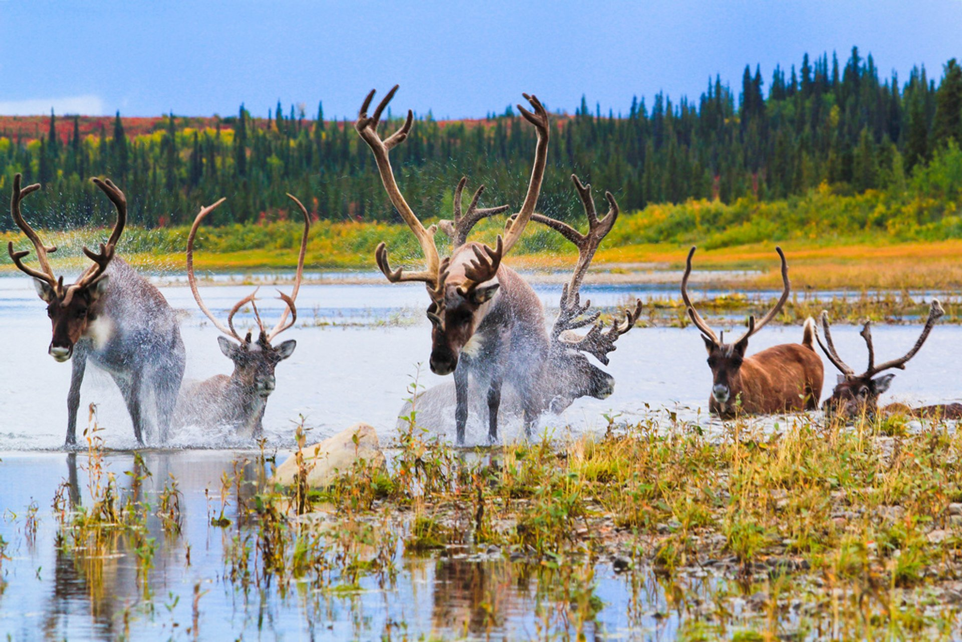 Caribou Autumn Migration in Alaska 2020 - Best Time