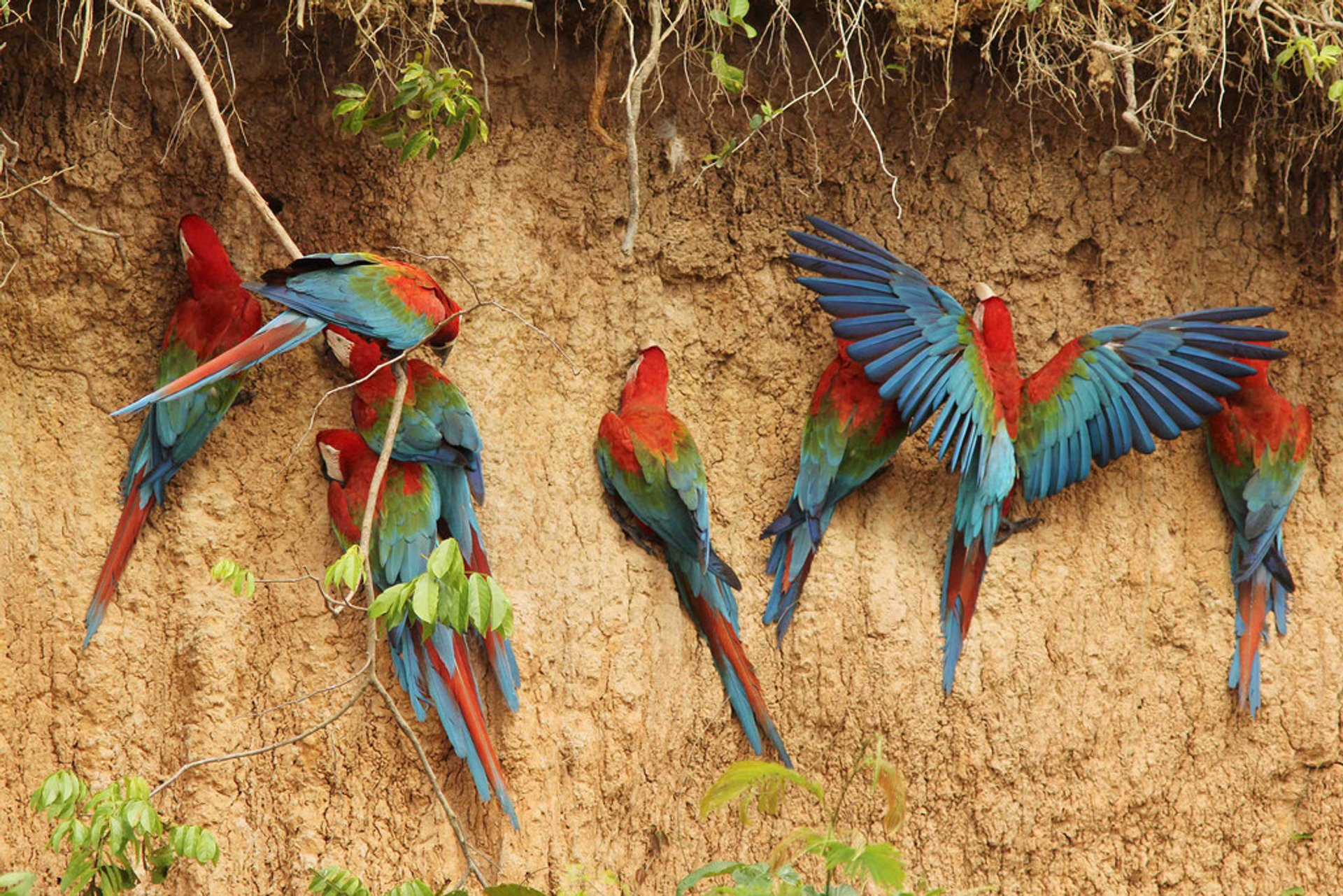 Macaw. Photographed in Peru near the Heath River Wildlife Center, La Paz Department, Bolivia 2020