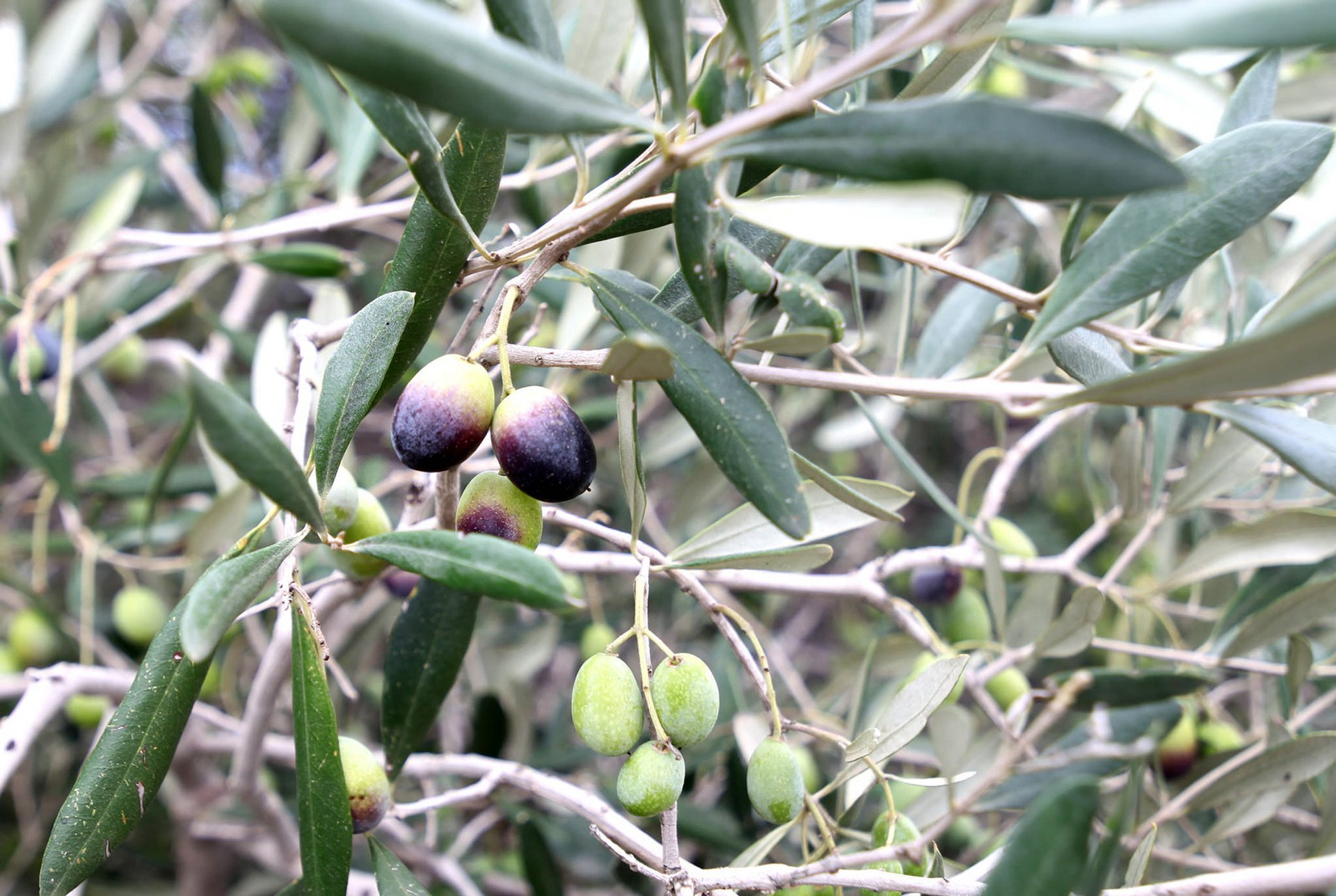 Olives in Malta - Best Time