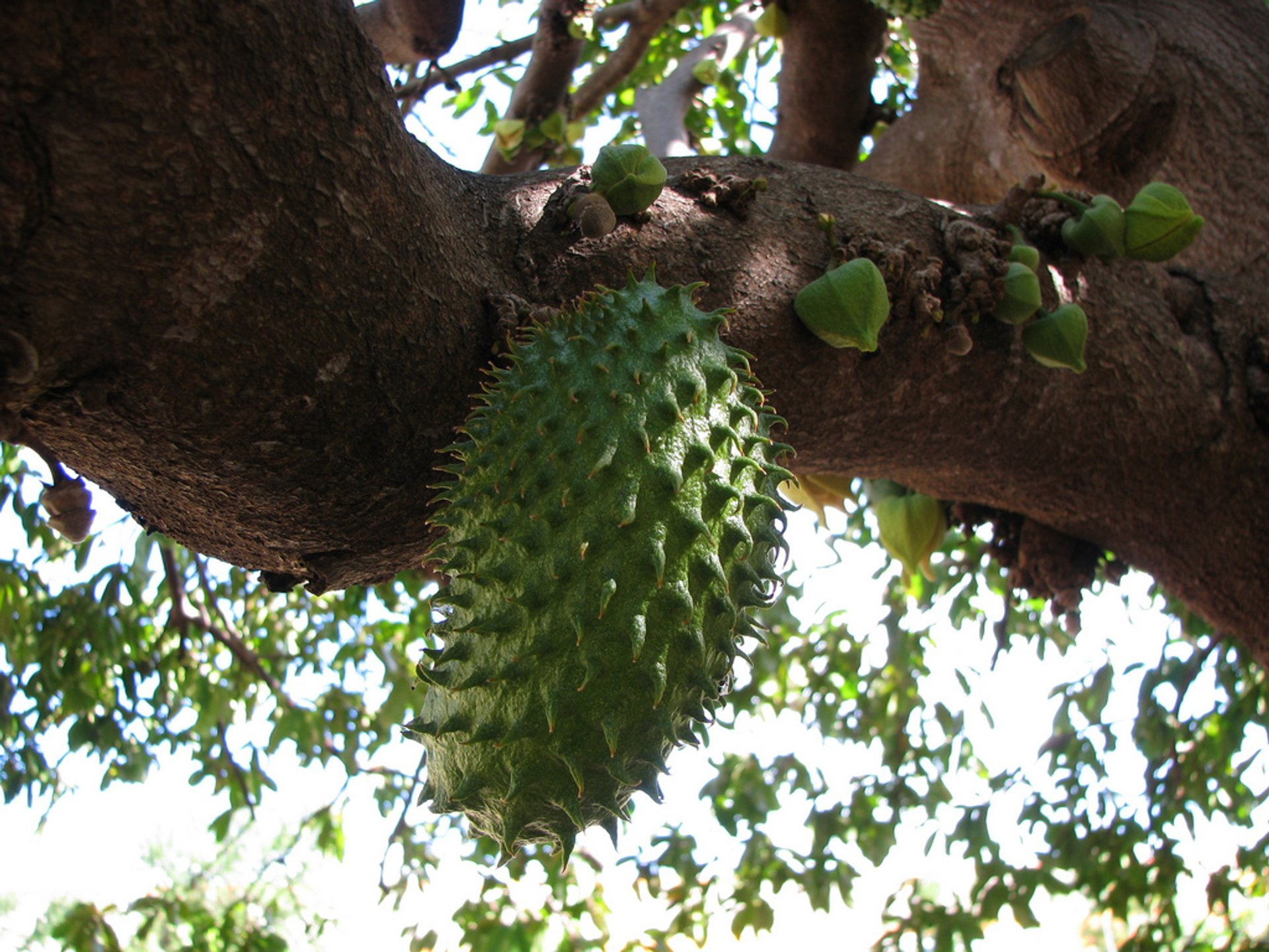 Soursop Season in Fiji 2020 - Best Time