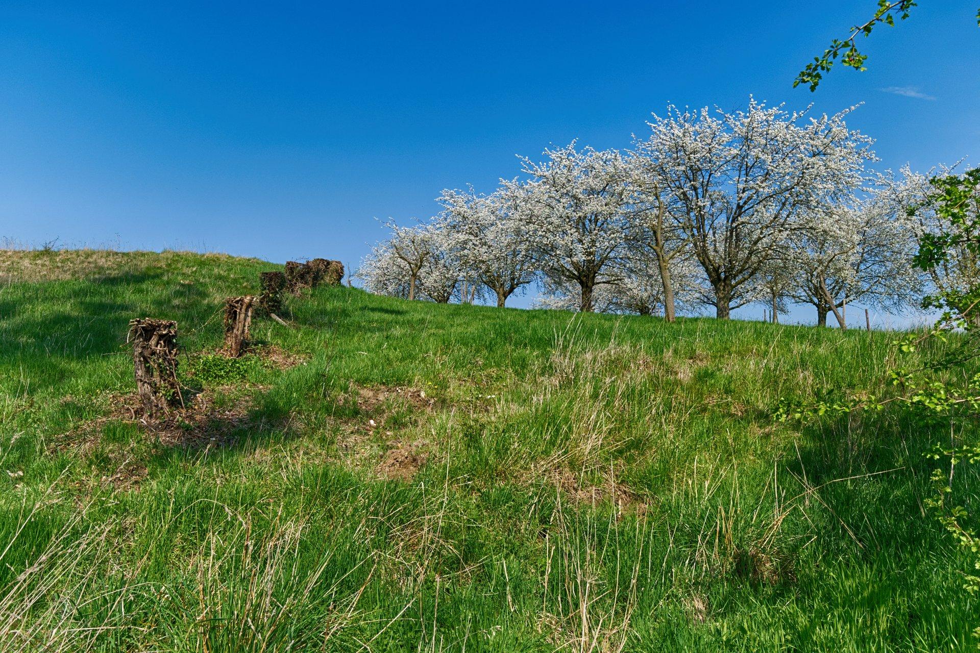 Blossom Season in Haspengouw in Belgium - Best Season 2020