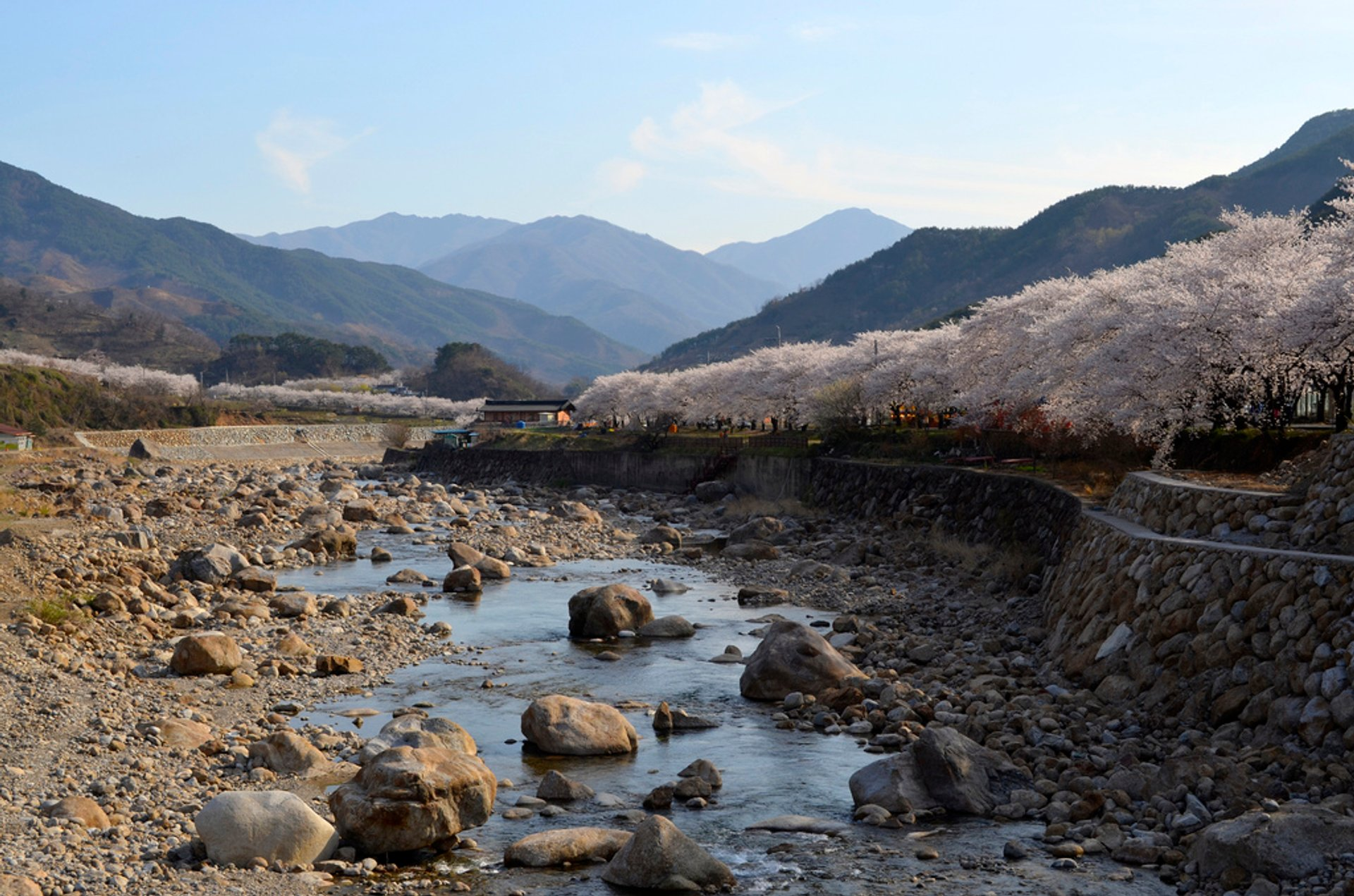 Cherry Blossoms, Hwagae-myeon, Hadong-gun, Jeollanamdo 2020