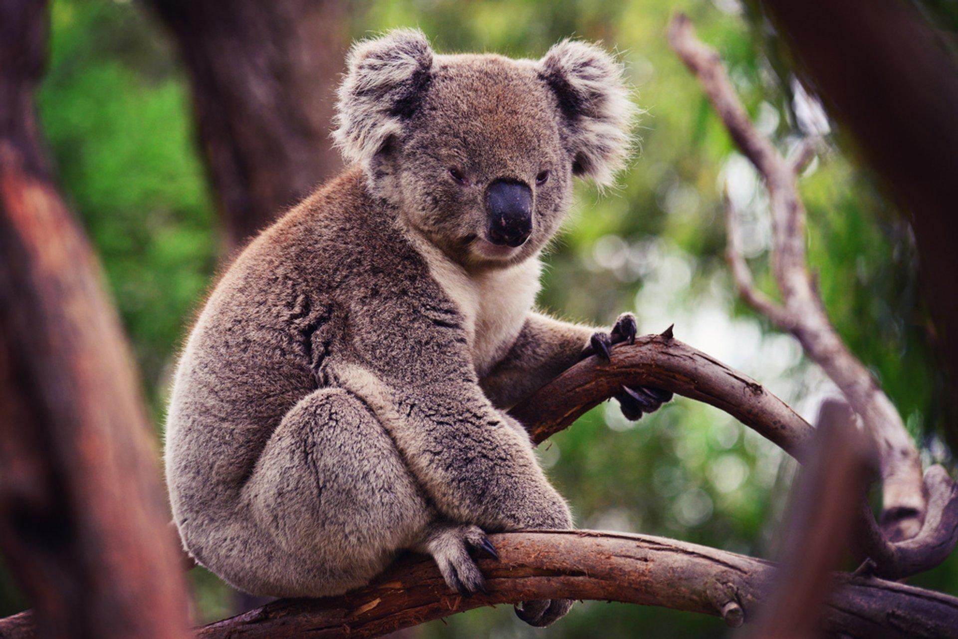 Koalas in Victoria - Best Time