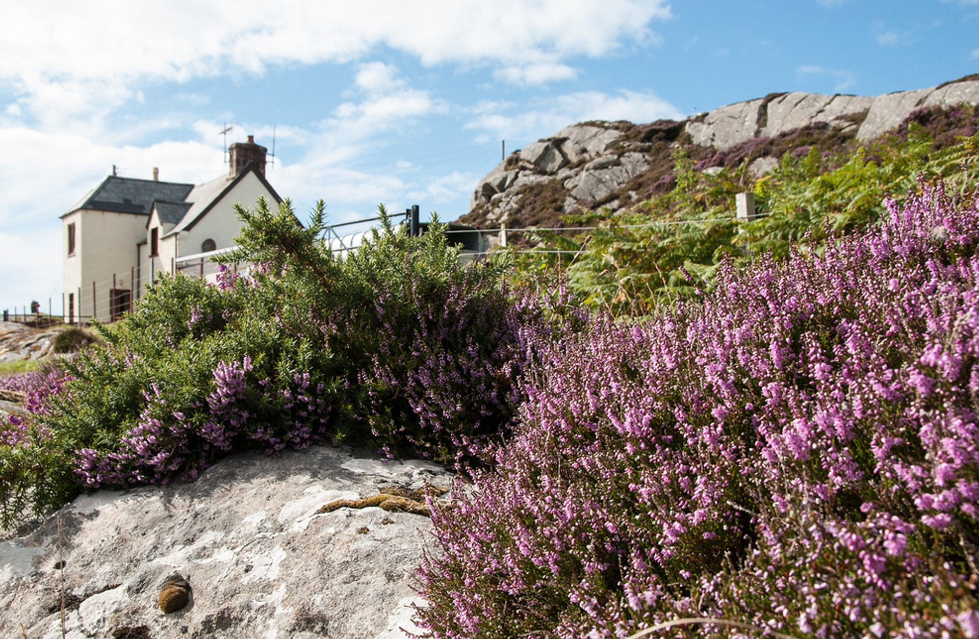 Blooming Heather in Scotland - Best Season 2019