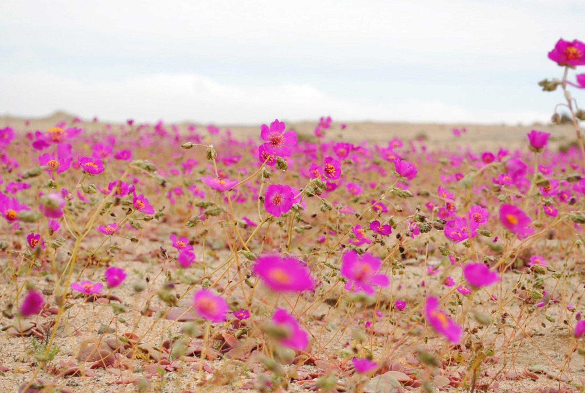 Desierto florido 2010 / Barranquilla, III Region de Atacama, Chile 2020