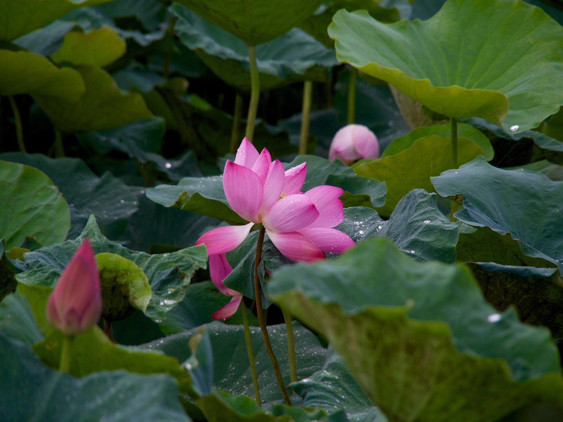 Tainan Baihe Lotus Season in Taiwan 2019 - Best Time