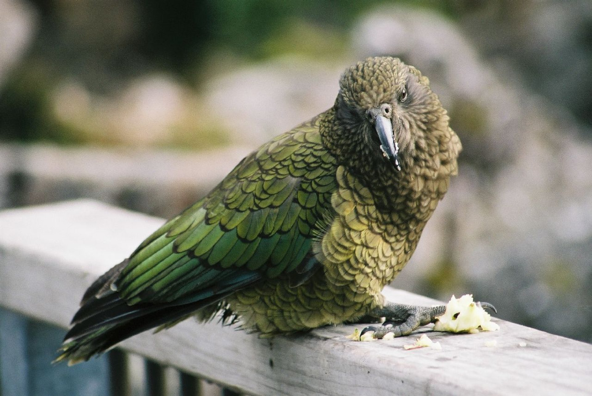 Best time for Kea Bird in New Zealand 2020