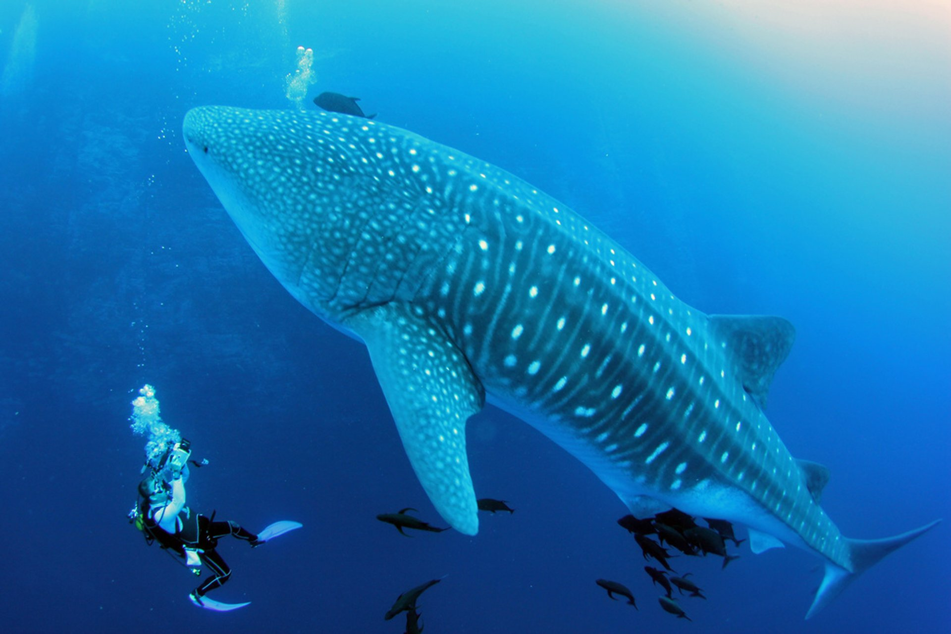 Swimming with Whale Sharks in Mexico 2020 - Best Time