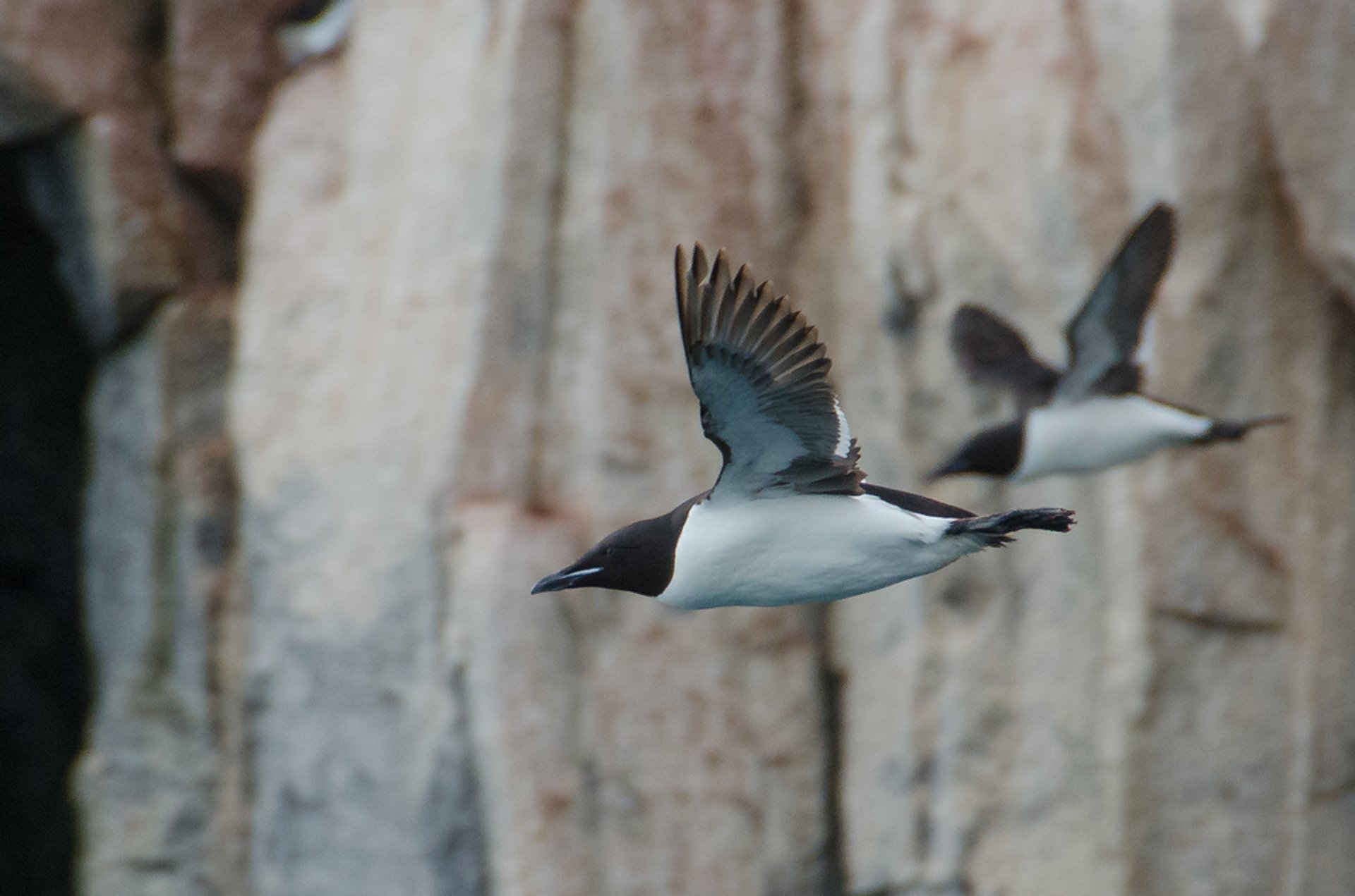 Brunnich's Guillemot Bird Bazaar in Svalbard - Best Season 2020