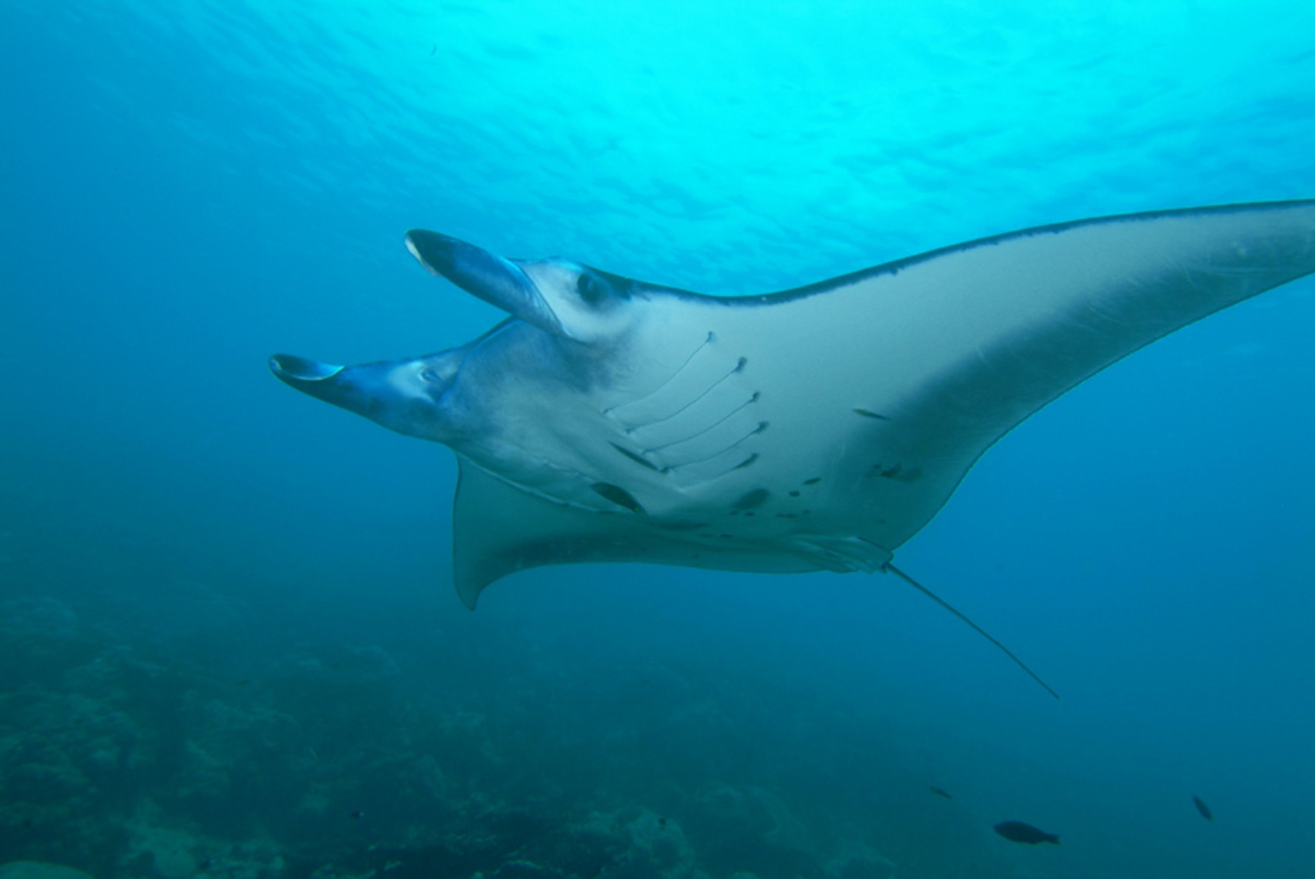 Manta Ray in Kenya 2020 - Best Time