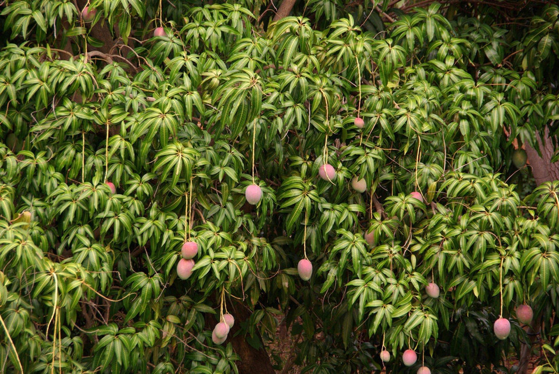 Mango Season in Cuba - Best Season 2020