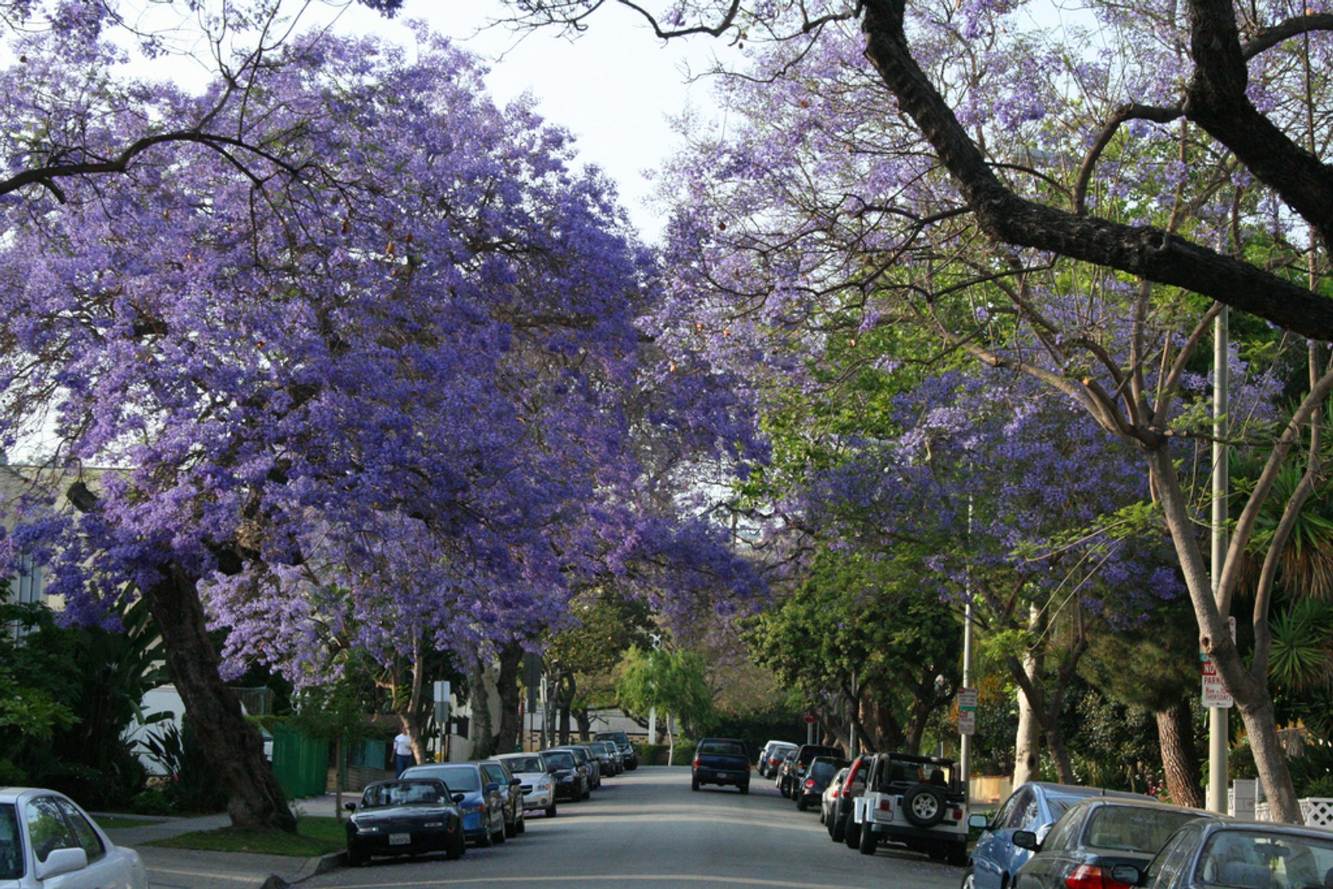 Jacarandas in Bloom in Los Angeles 2019 - Best Time