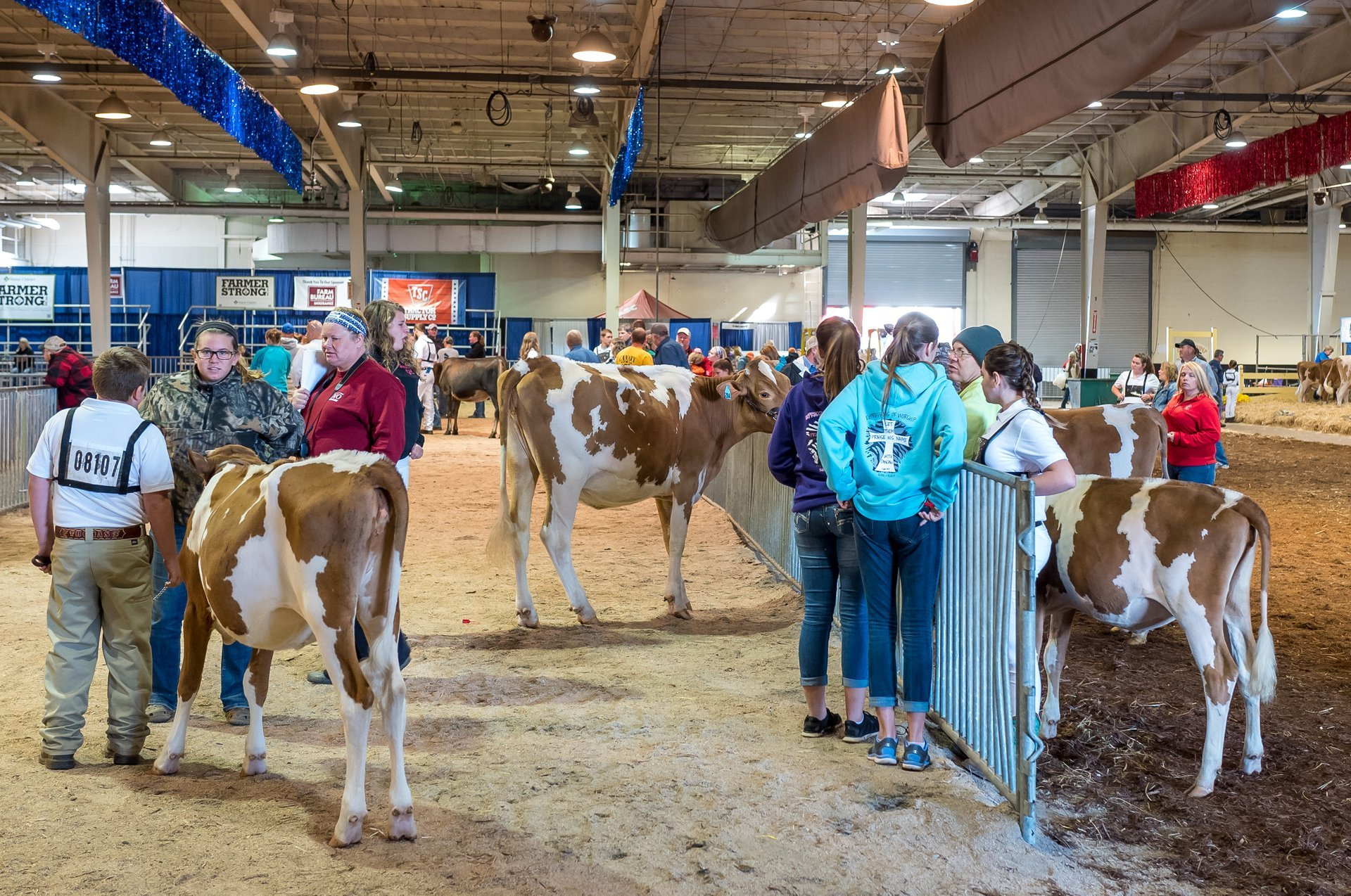Cows at NC State Fair 2020
