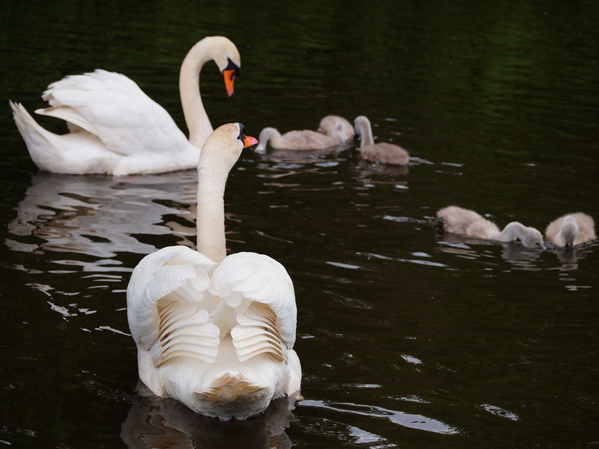 Swan and its offsprings in Edinburgh 2020