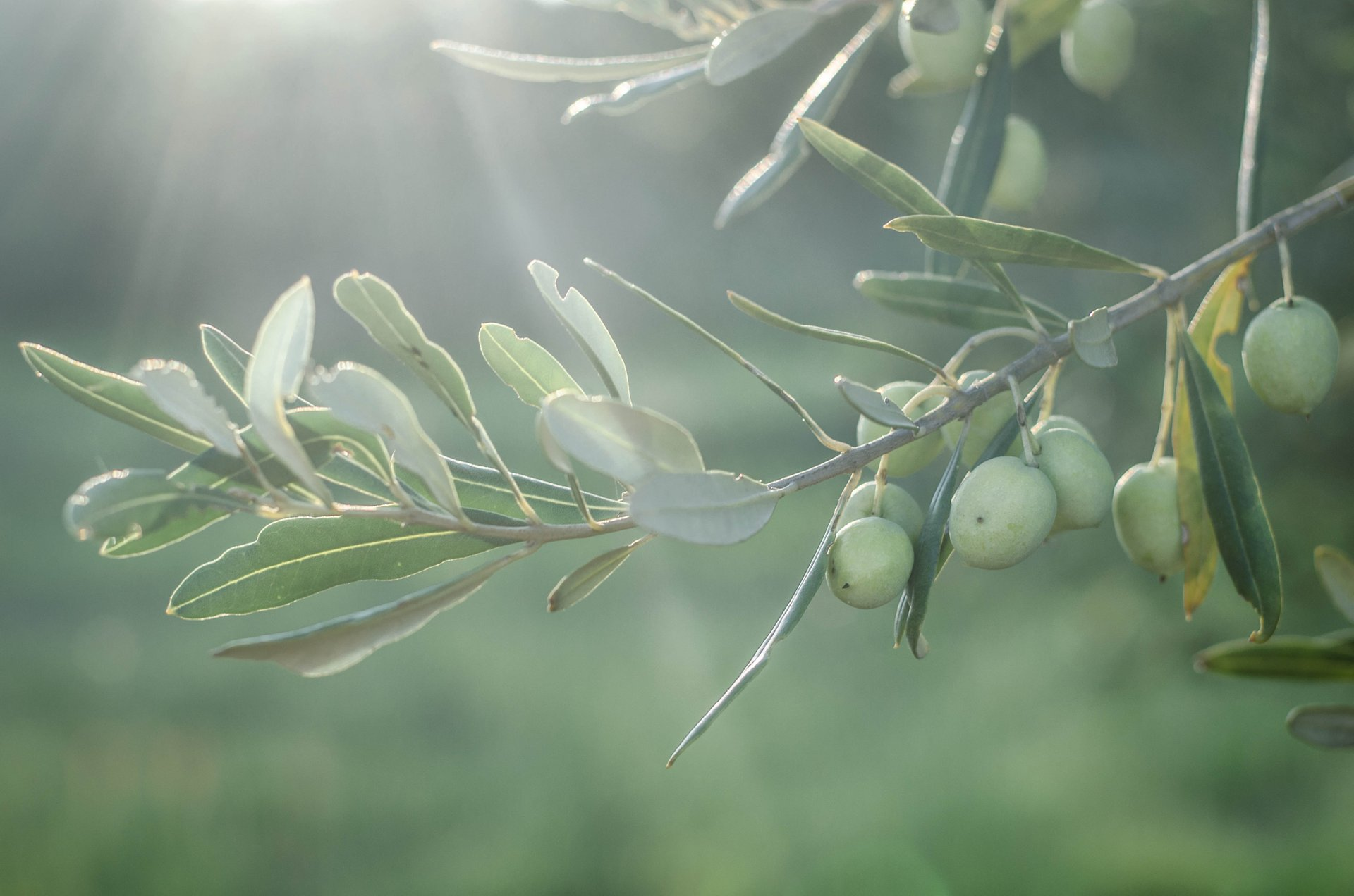 Olive Harvest in Croatia 2019 - Best Time