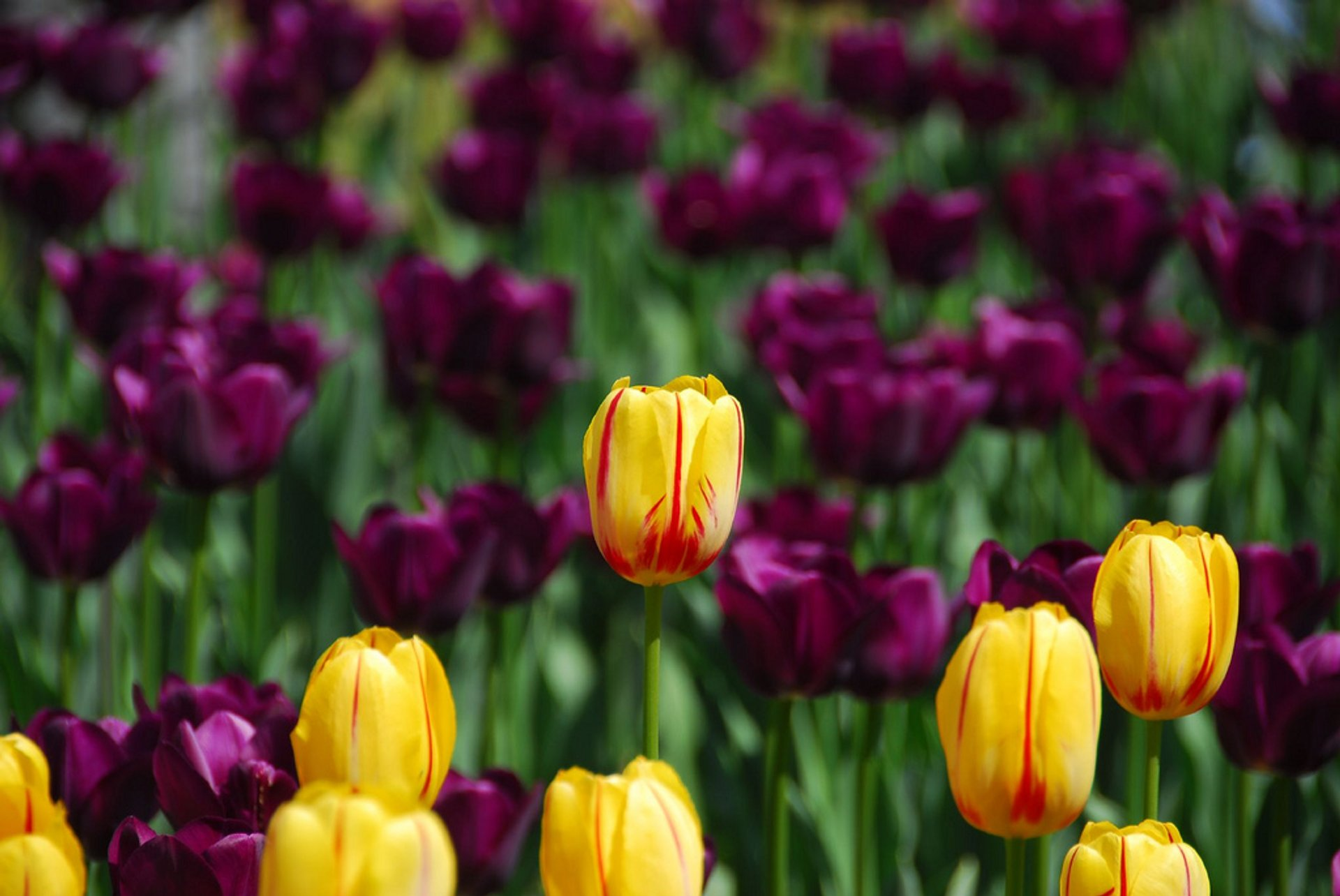 Canadian Tulip Festival (Festival Canadien des Tulipes) in Ottawa - Best Season 2020