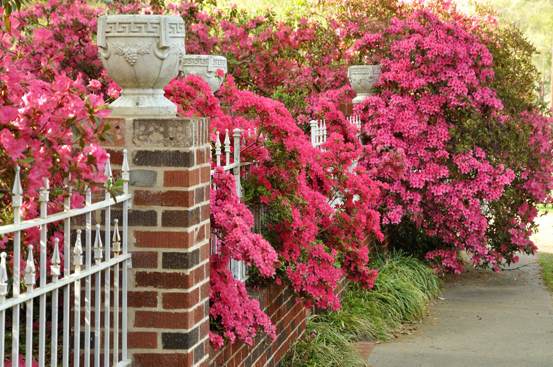 Azalea Bloom in Tyler in Texas 2019 - Best Time